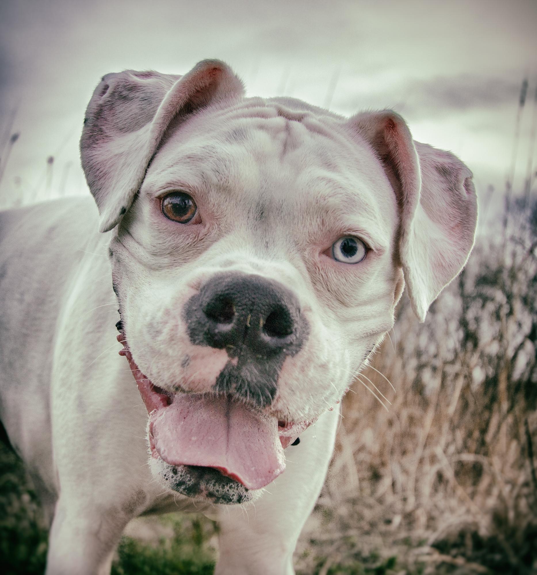 Bailey - Boxer