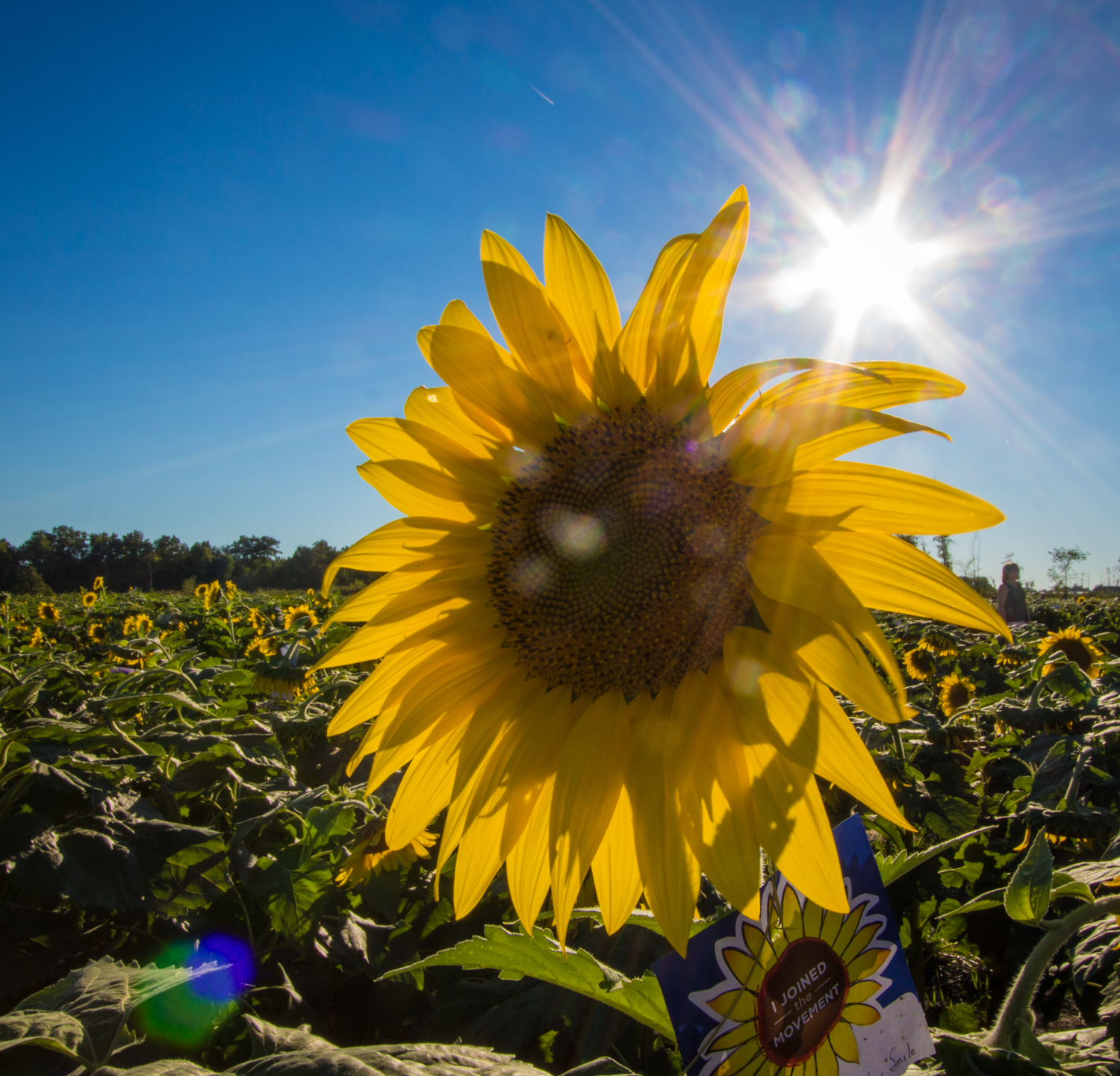 Sunflowers-102.jpg