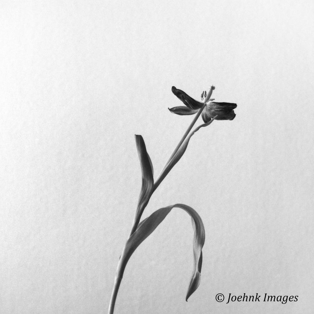 Flowers Past #12