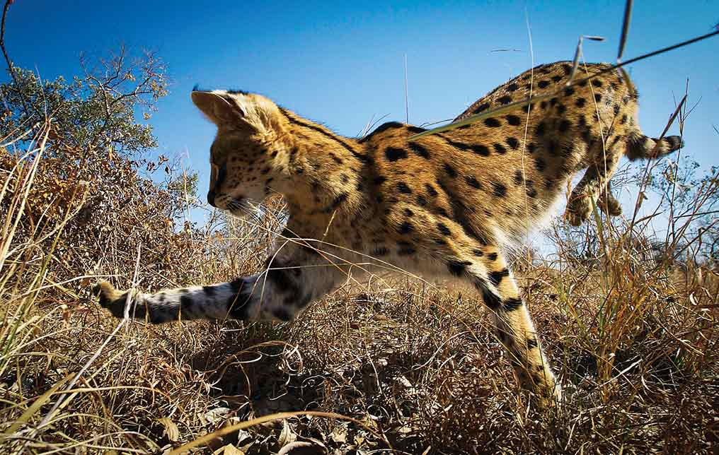 Steadicam operator Mateo Willis managed to follow this recently released serval cat for almost a week., before it became too wild to shoot it anymore