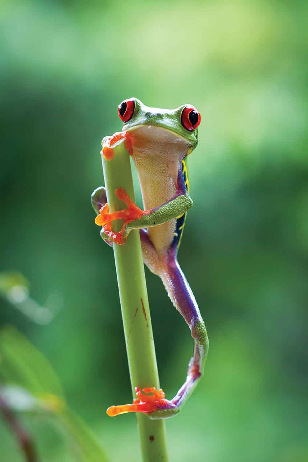 A red-eyed tree frog in Costa Rica from the Jungles programme.