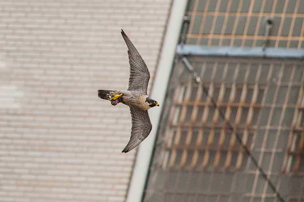 A New York peregrine – from  Planet Earth II – Cities .