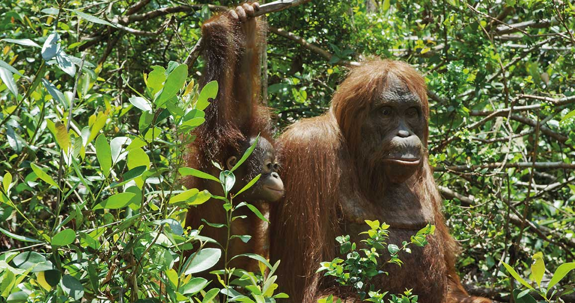 It was vital that Spy Orangutan was lifelike enough to engage its wild counterparts.