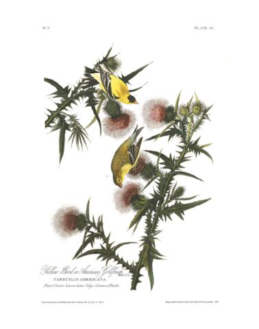 yellow_bird_or_american_goldfinch.jpg