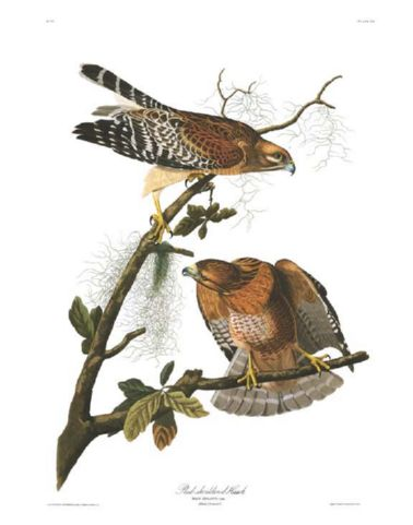 red-shouldered_hawk.jpg