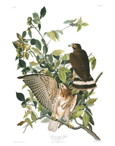 broad-winged_hawk.jpg