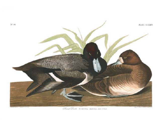 scaup_duck.jpg