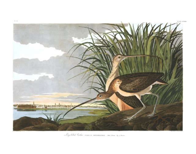 long-billed_curlew.jpg