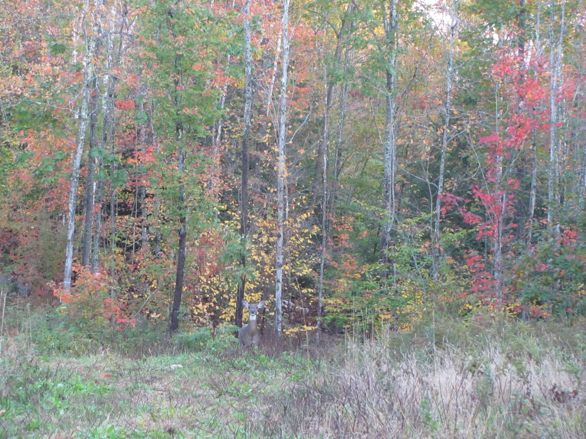 fall deer 2.jpg