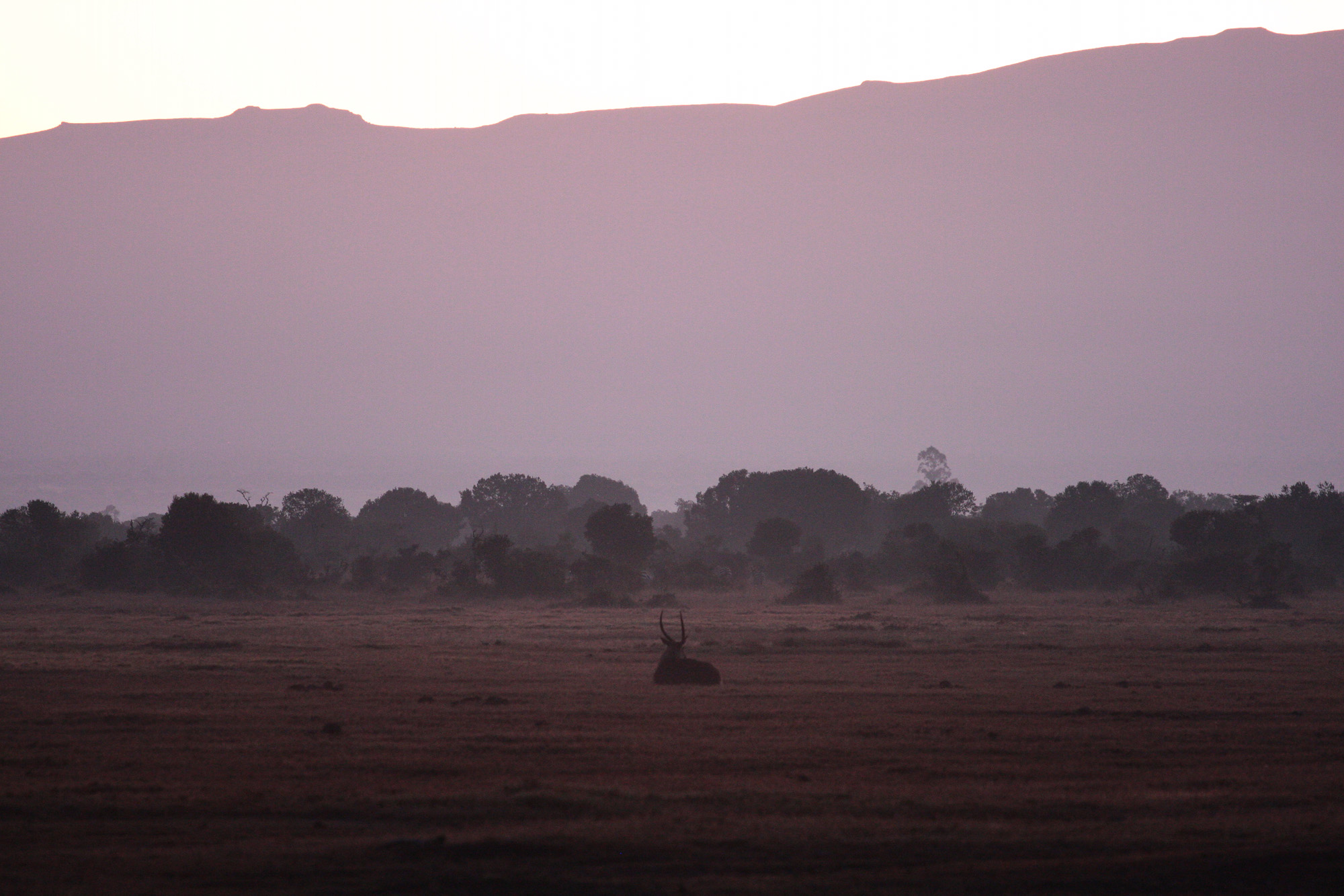 Waterbuck in the morning mists