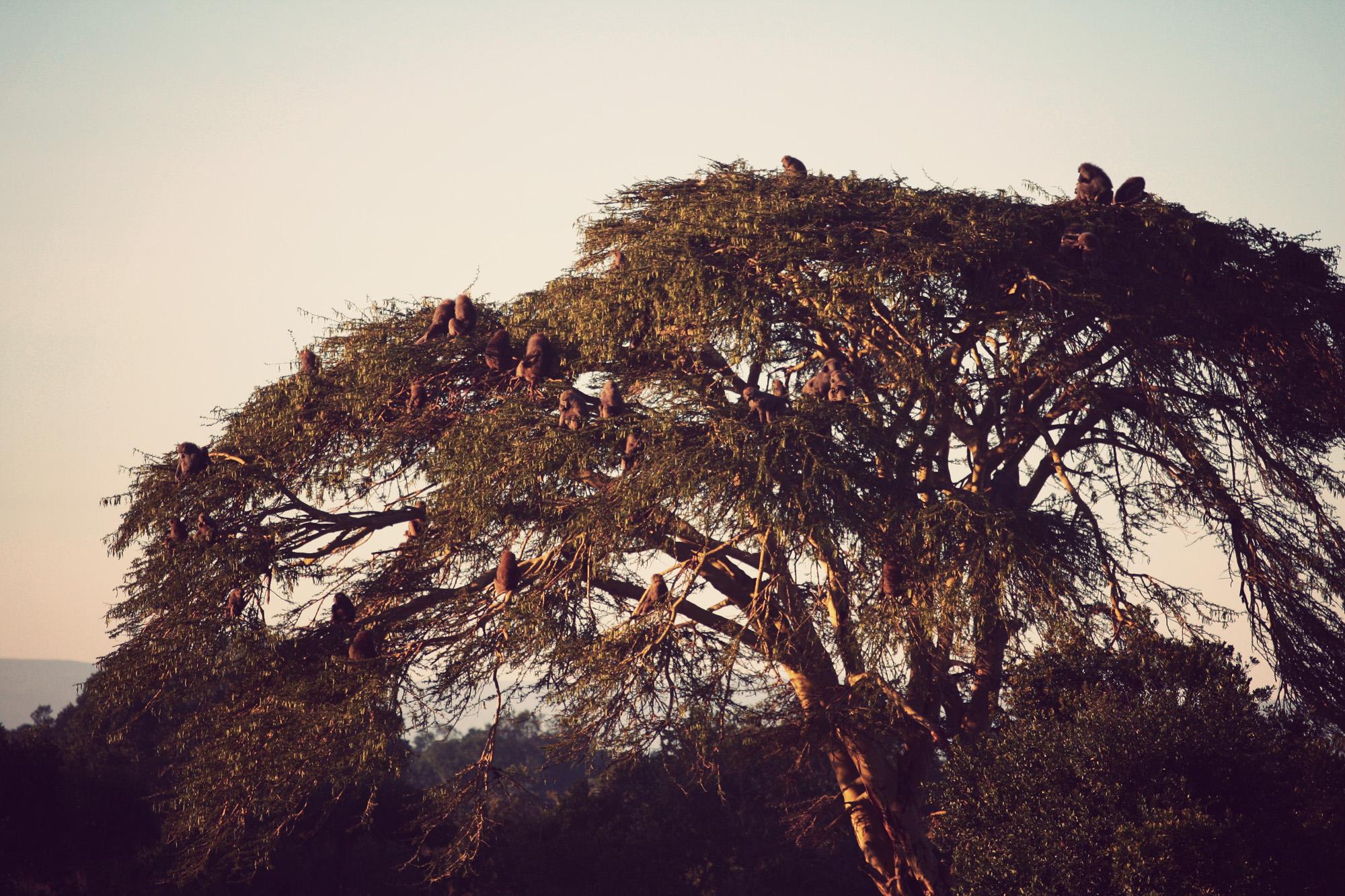Baboon Tree