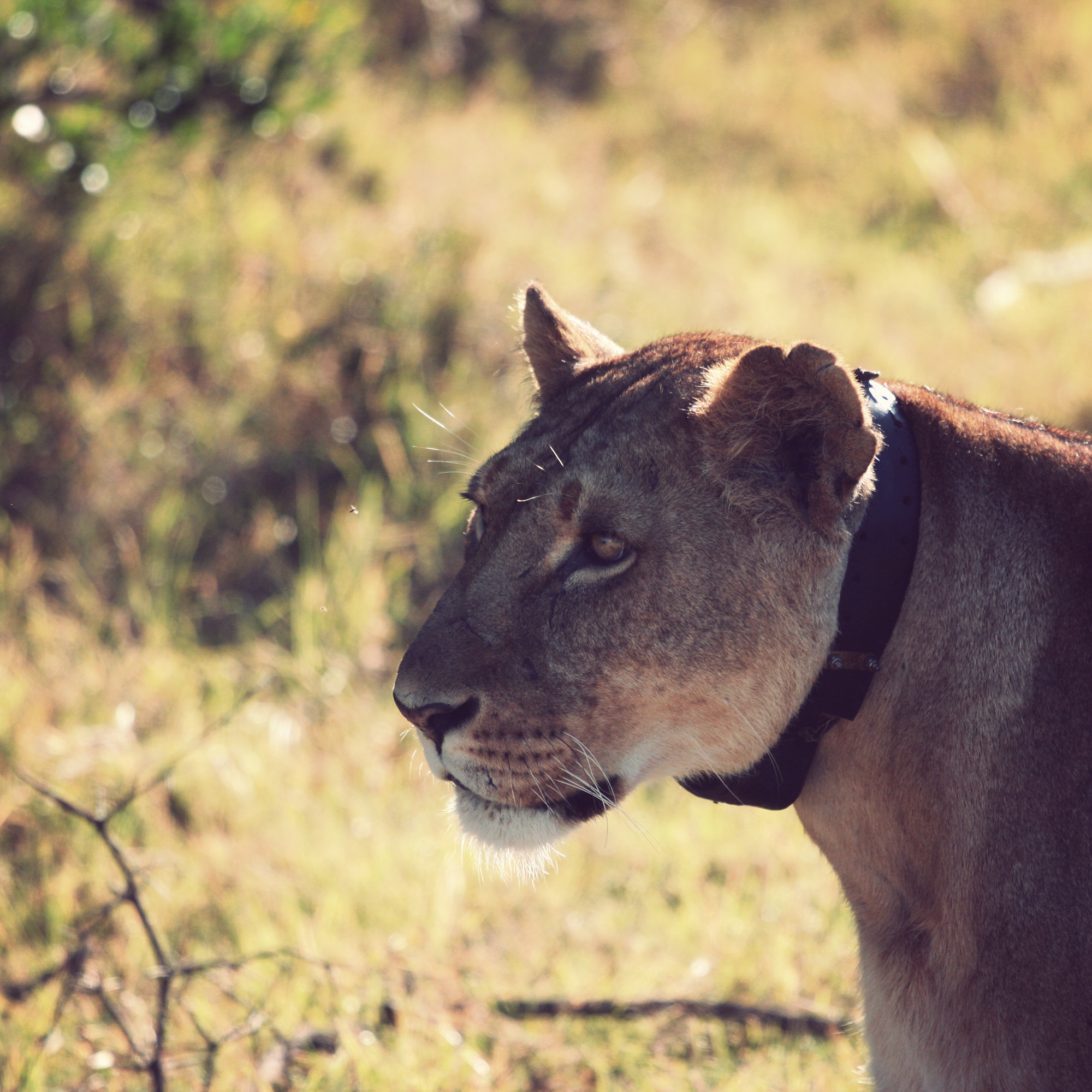 Day02_Sweetwater_Lioness_01.jpg
