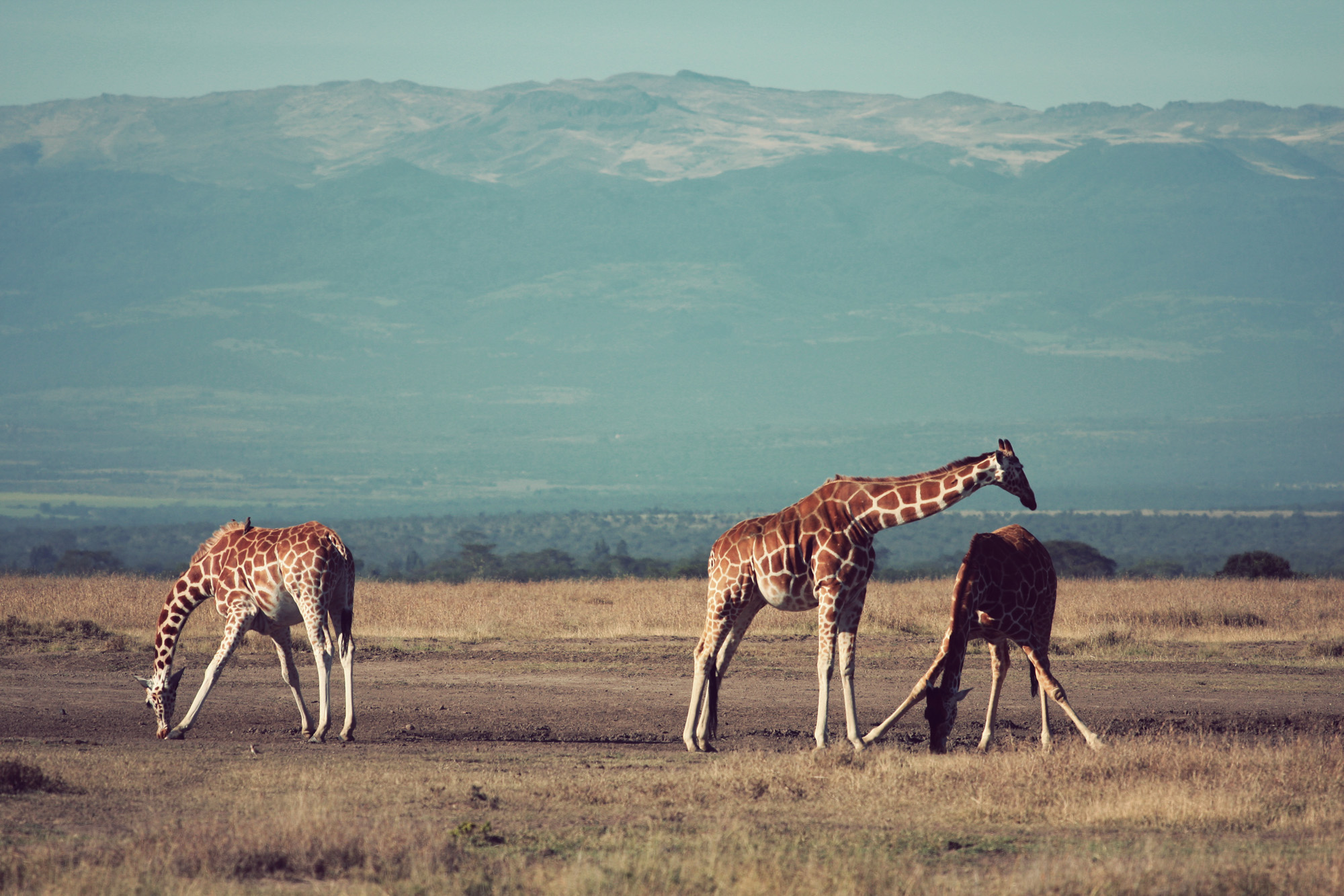 Day02_Sweetwater_Reticulated-Giraffes_03.jpg