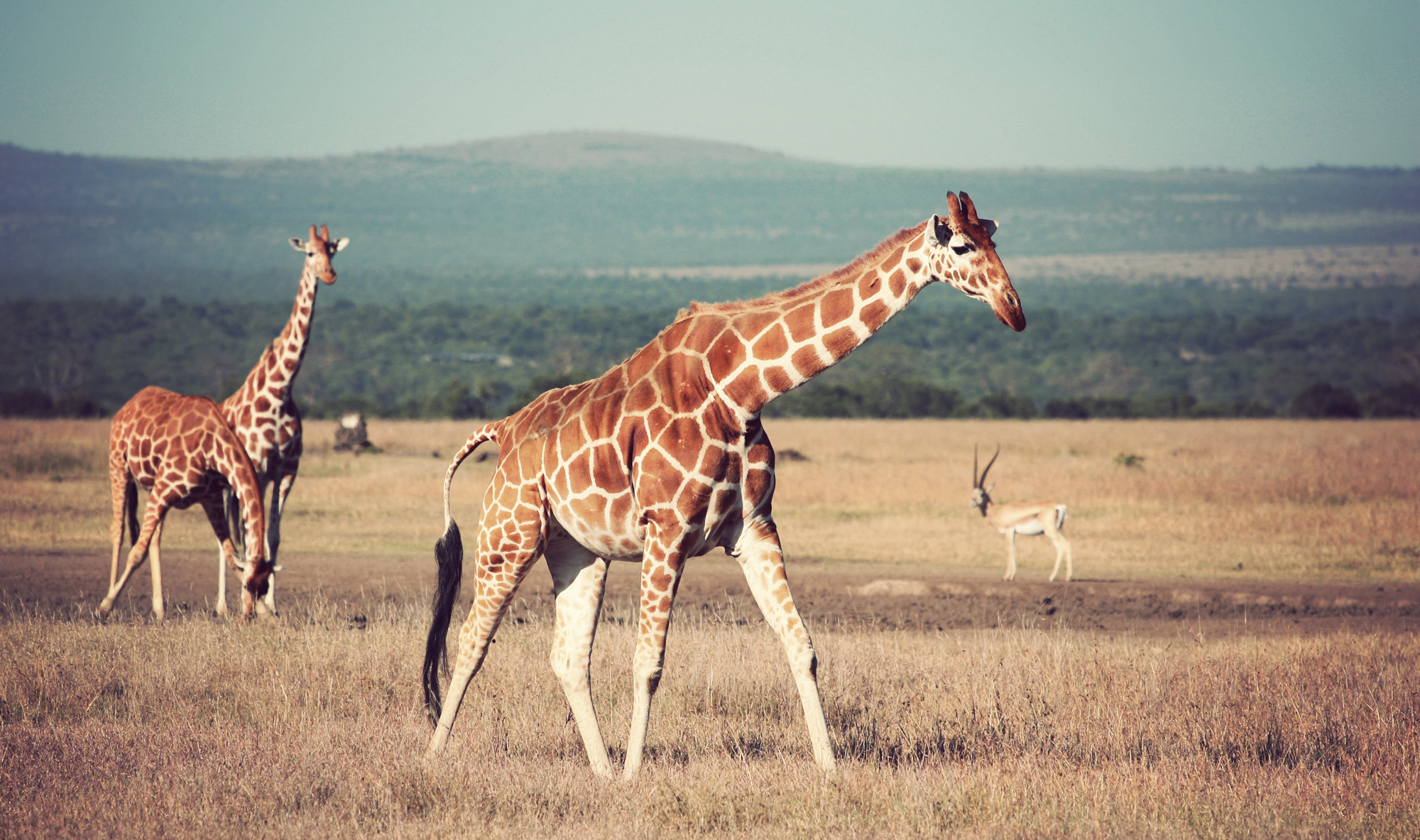 Day02_Sweetwater_Reticulated-Giraffes_05.jpg