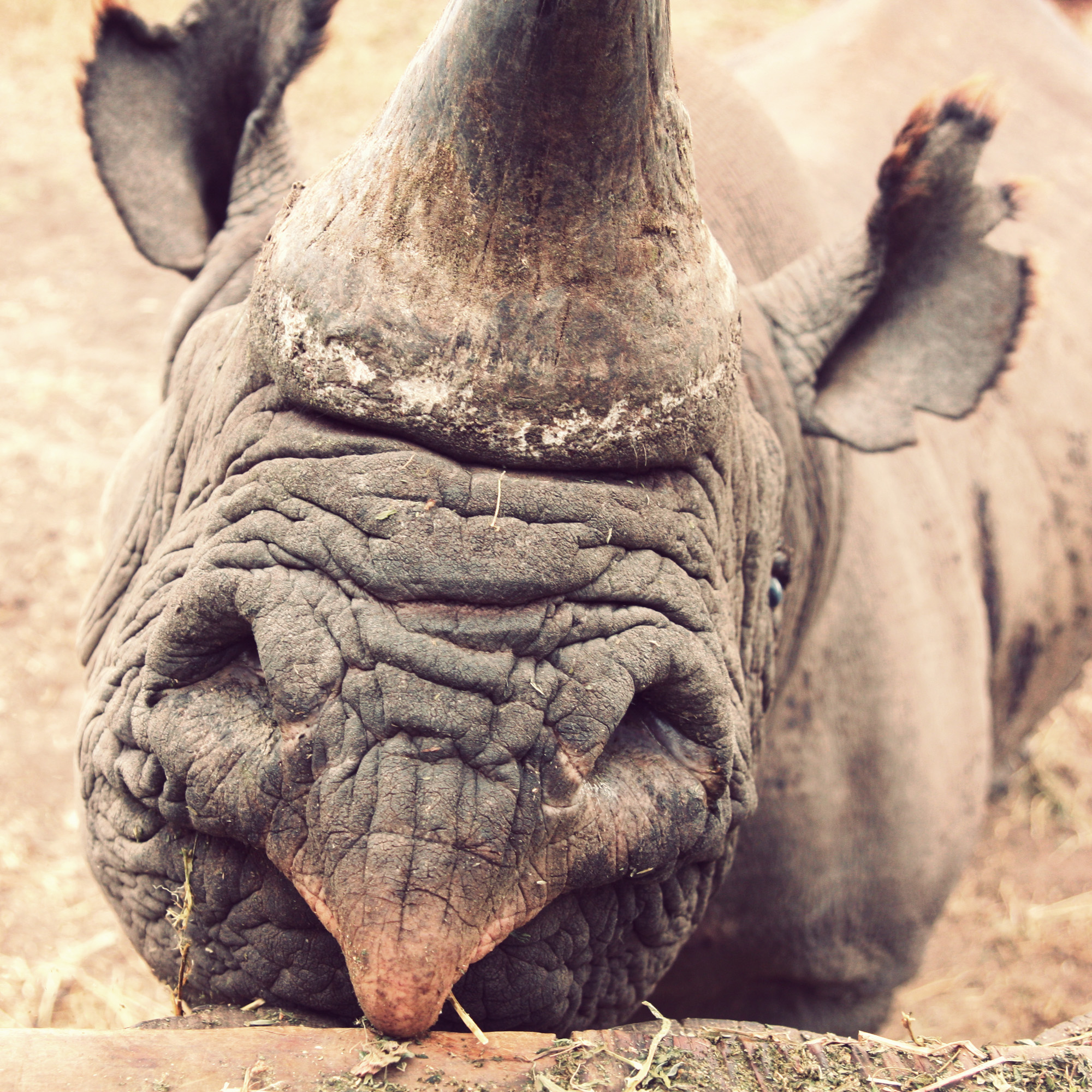 Note his pointed lip - he's a black rhino.