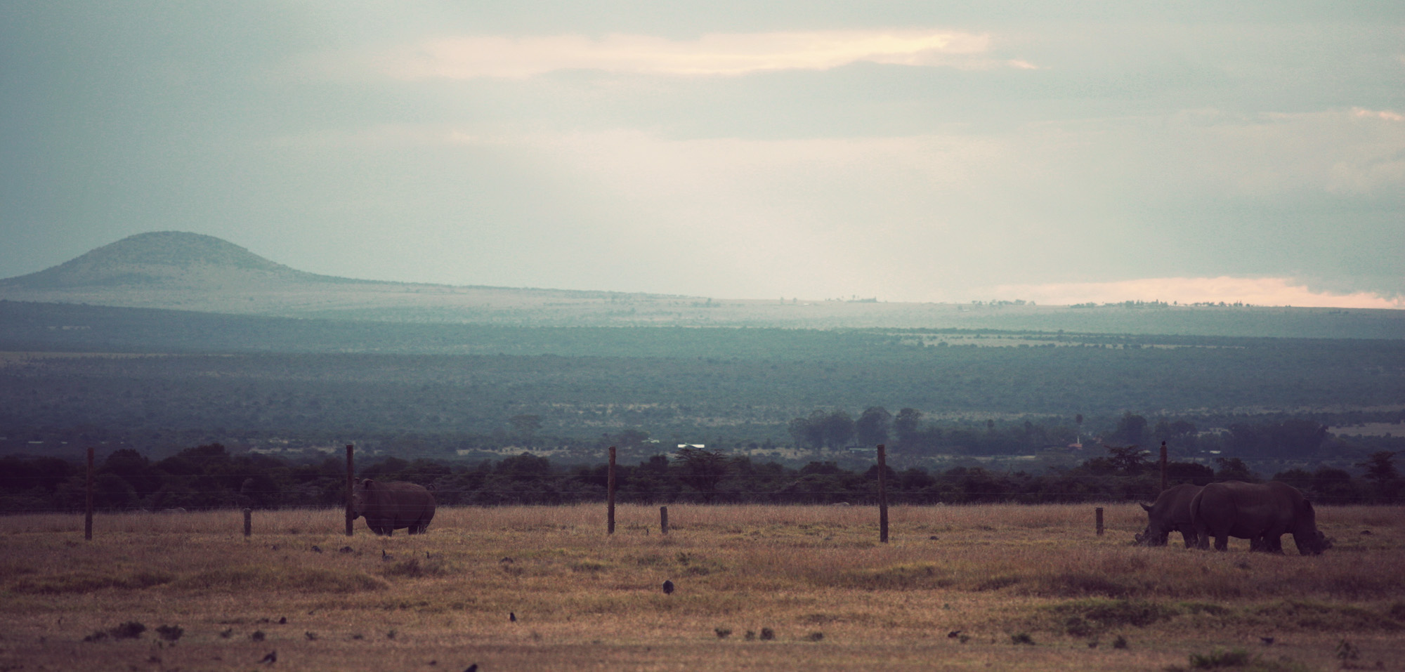 Northern White Rhinos