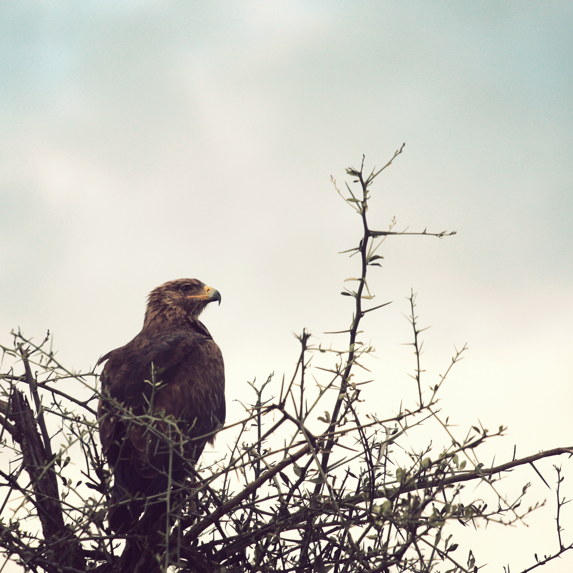 Tawny Eagle guarding his meal
