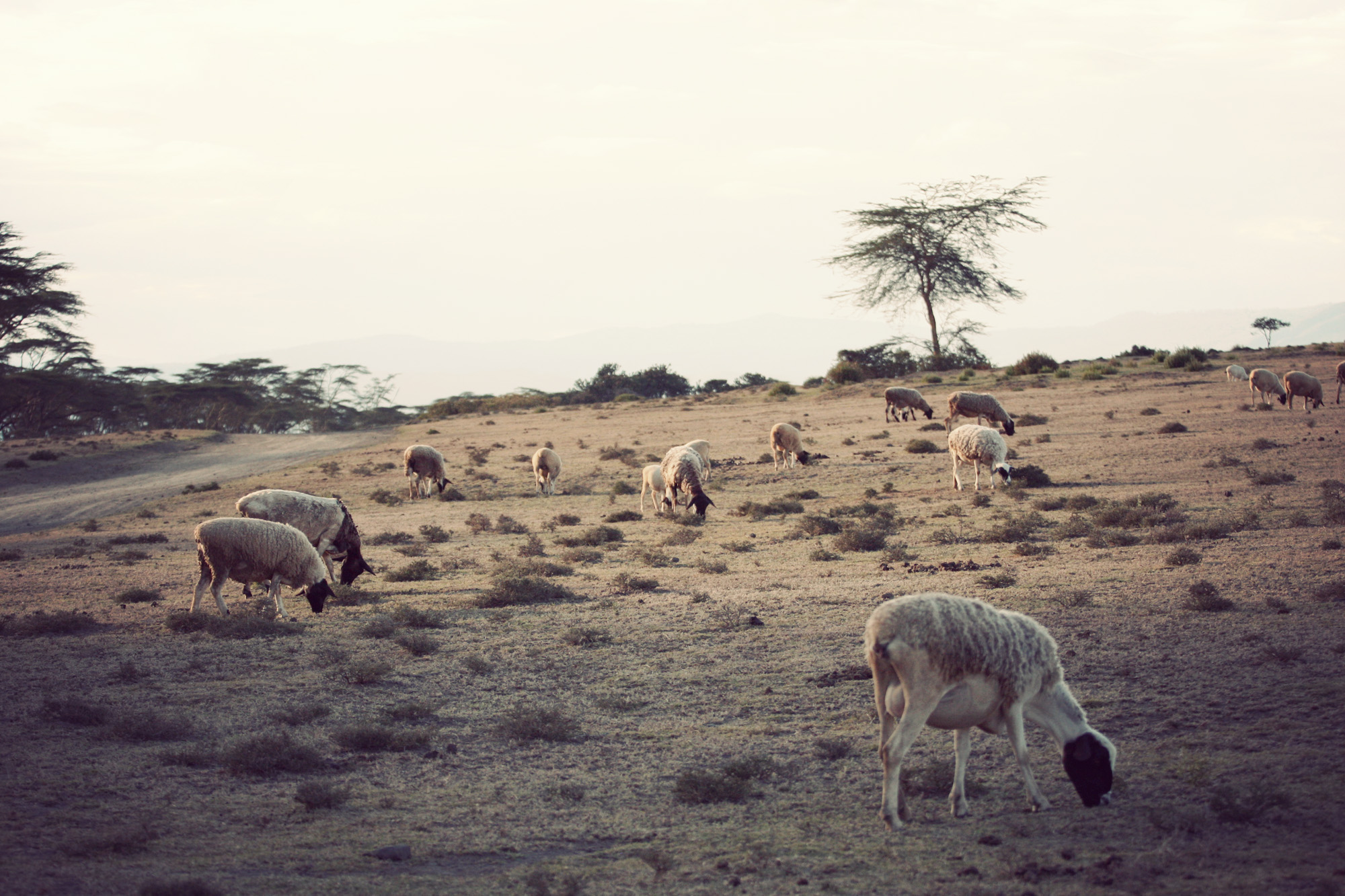 Day03_SOPA_Walking-Safari_Sheep.jpg