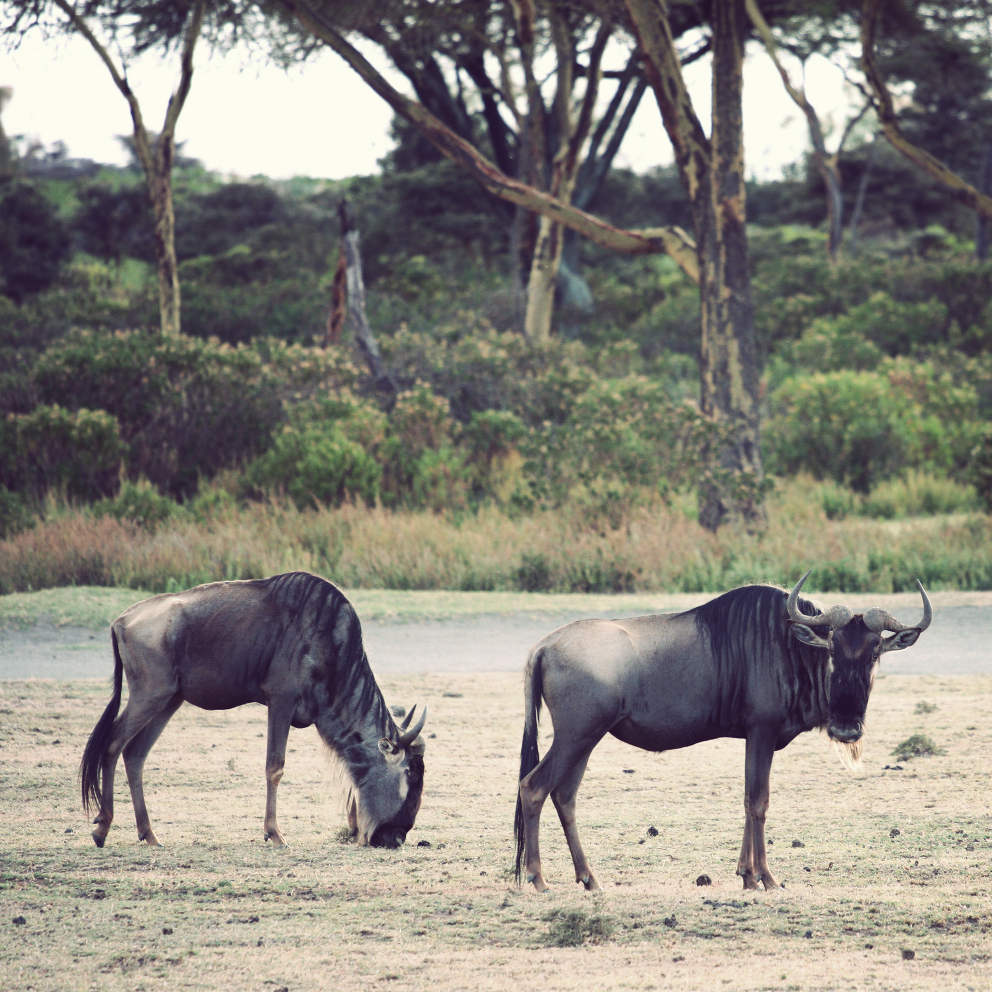 Day03_SOPA_Walking-Safari_Wildebeest_02.jpg