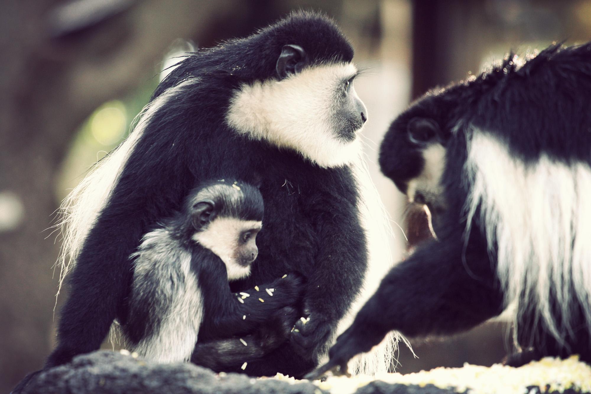 Day04_SOPA_Colubus-Monkey_03.jpg