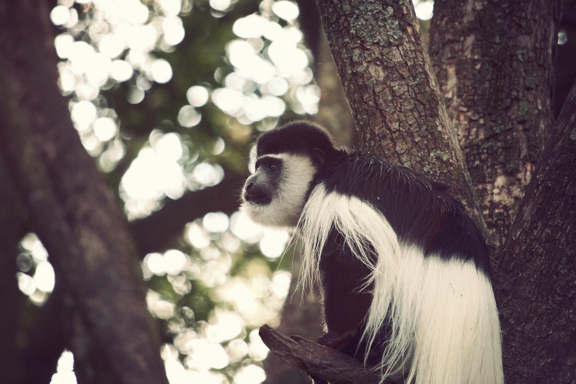 Day04_SOPA_Colubus-Monkey_02.jpg
