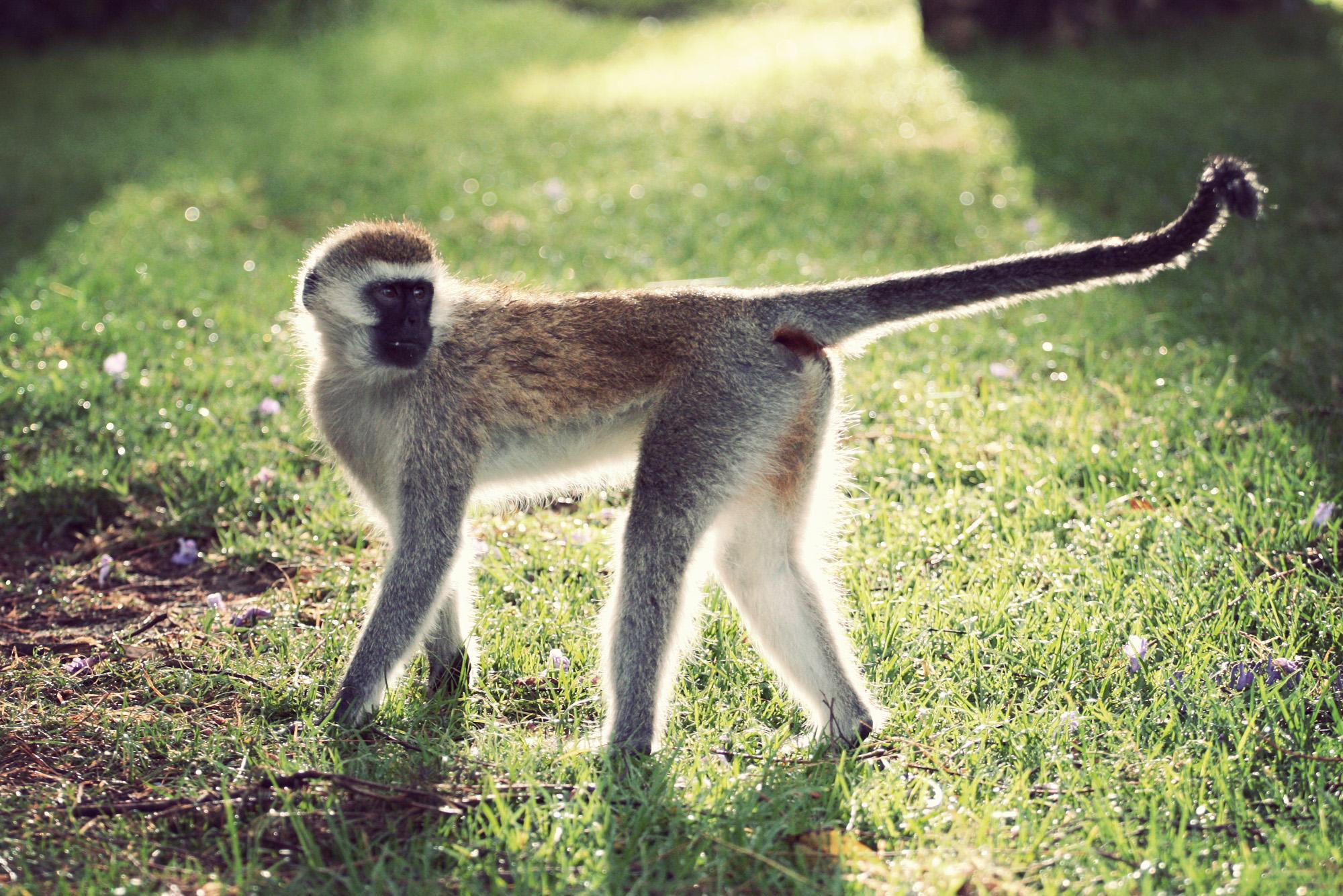 Day04_SOPA_Vervet-Monkey_03.jpg