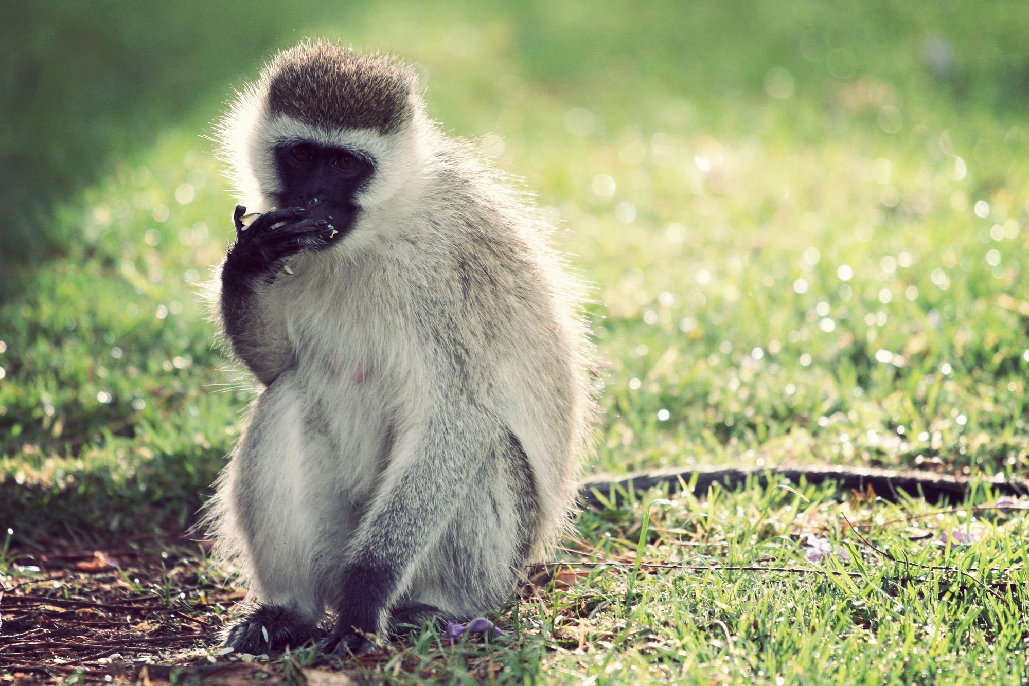Day04_SOPA_Vervet-Monkey_04.jpg