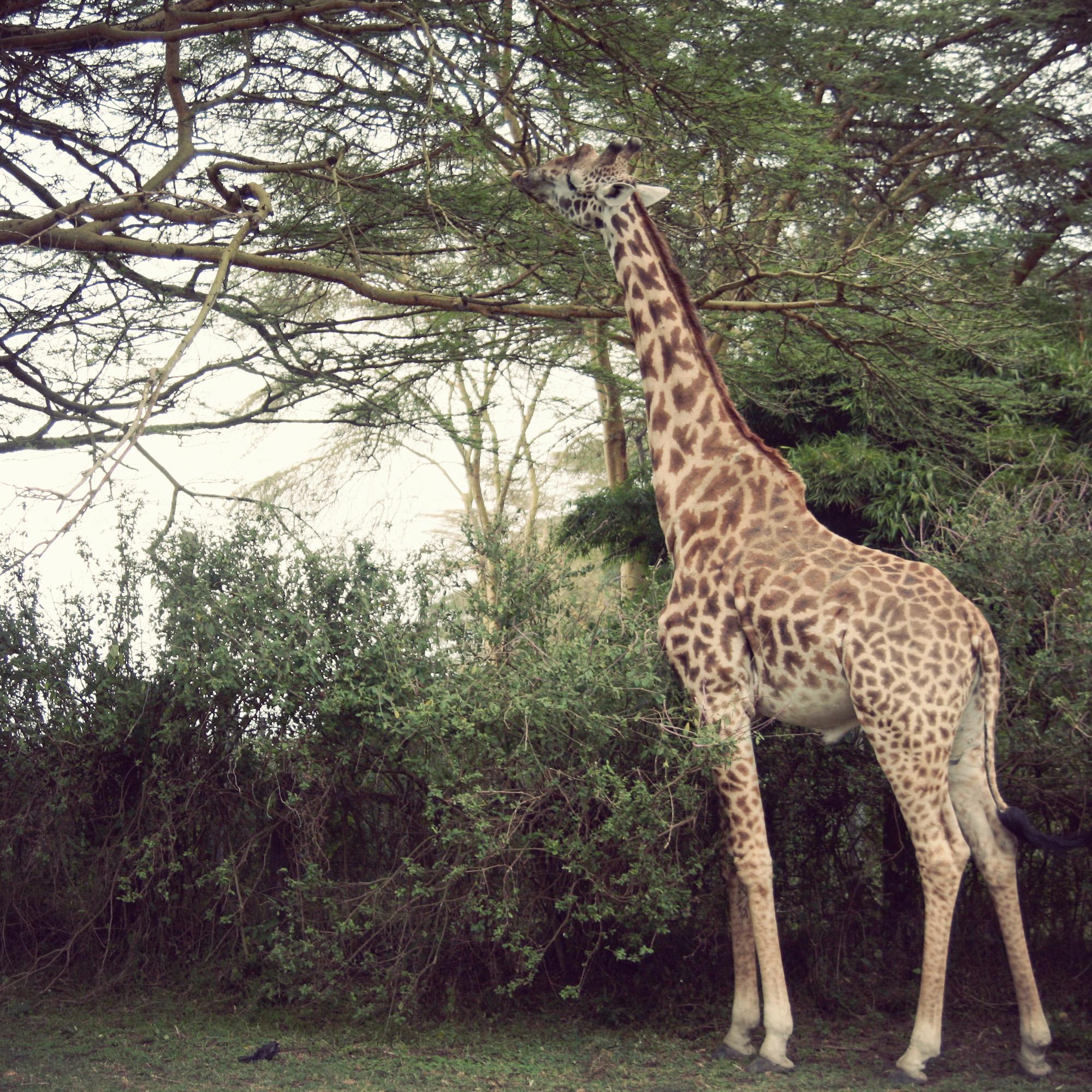 Day04_SOPA_Giraffe_01.jpg