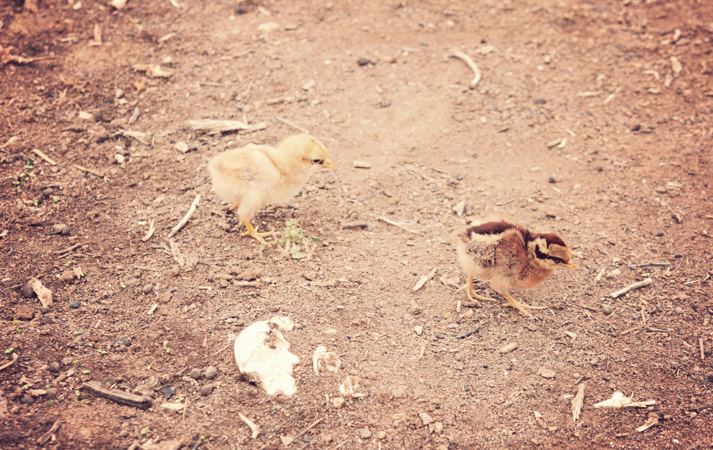 Little baby chicks running around!
