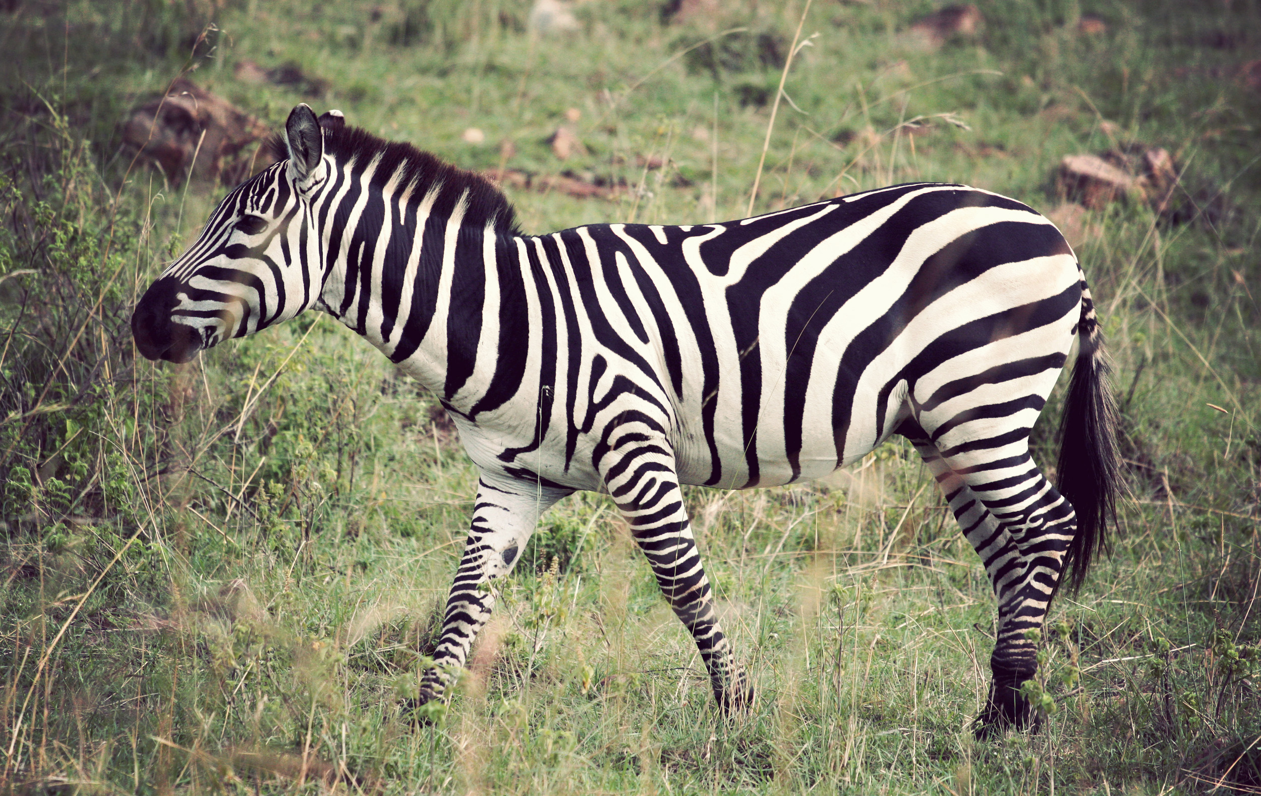 My best picture of a zebra so far!