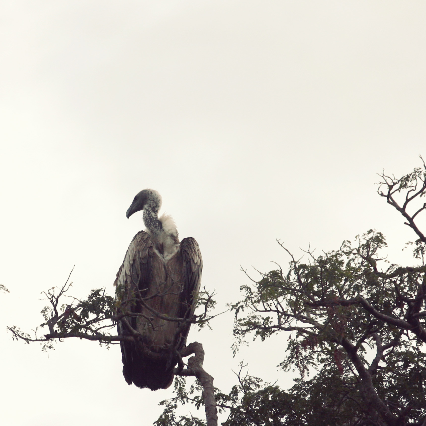 White-backed Vulture?