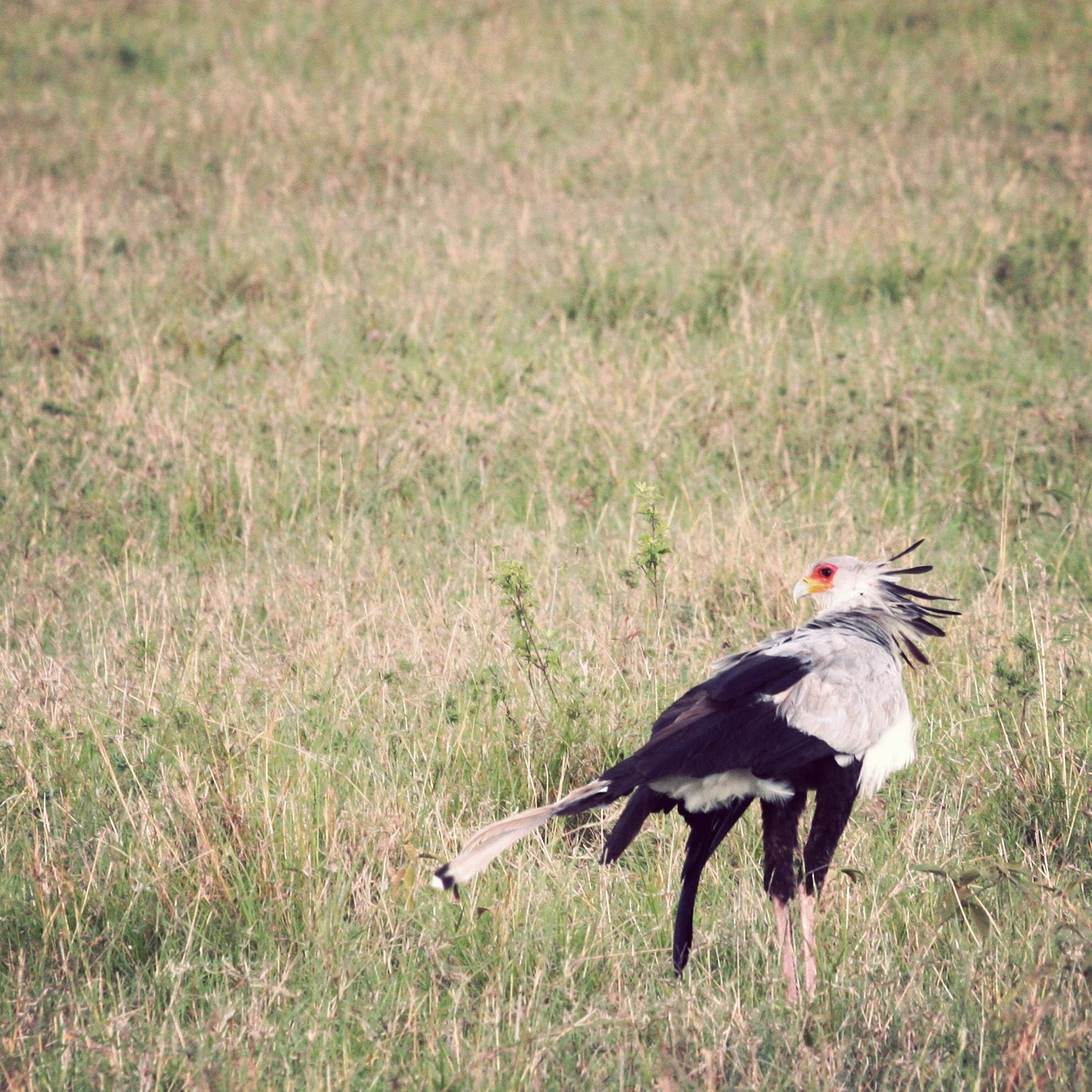 Secretary bird - so called for the plumes which look like pens coming out of his head.