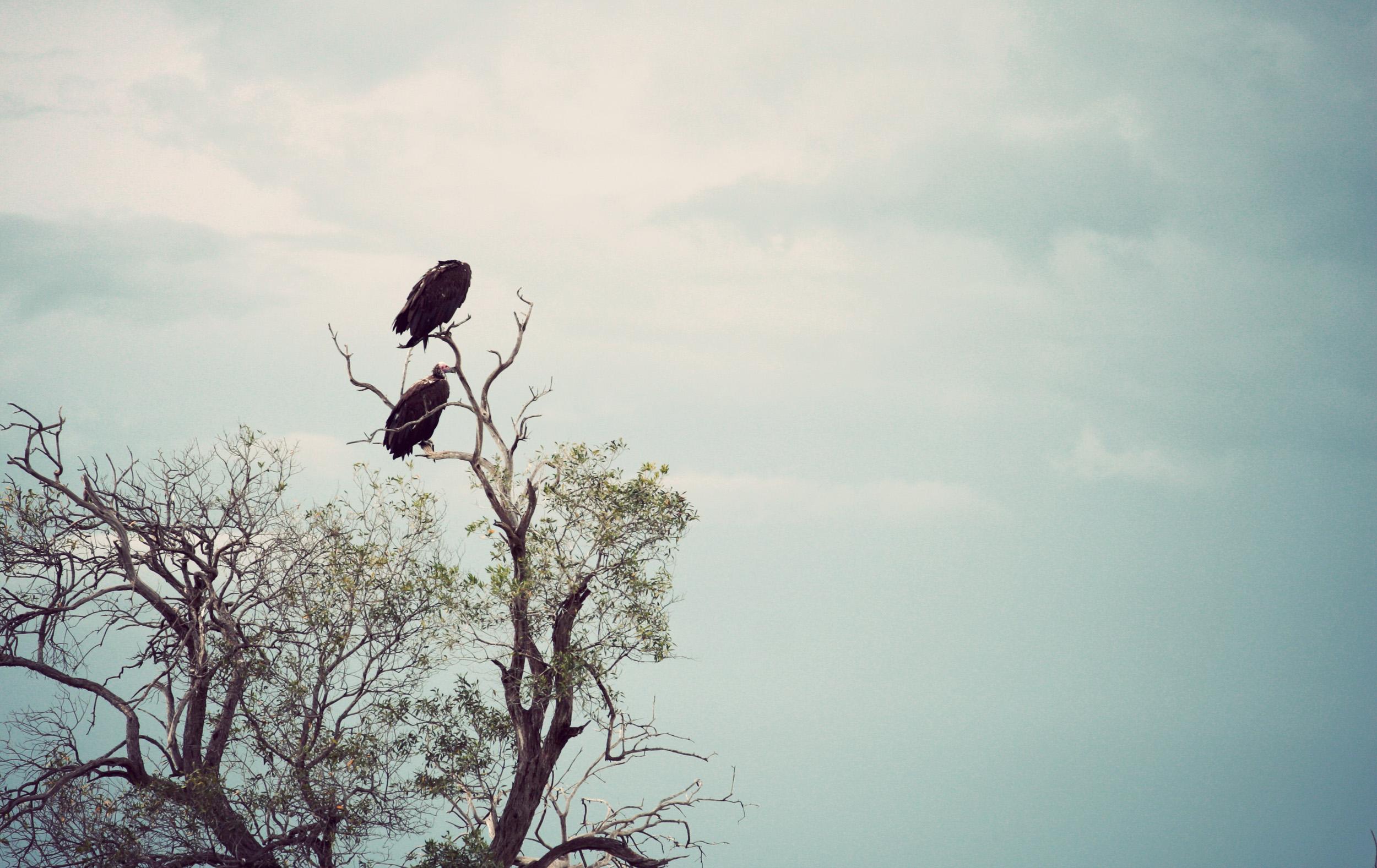 White-headed Vulture?
