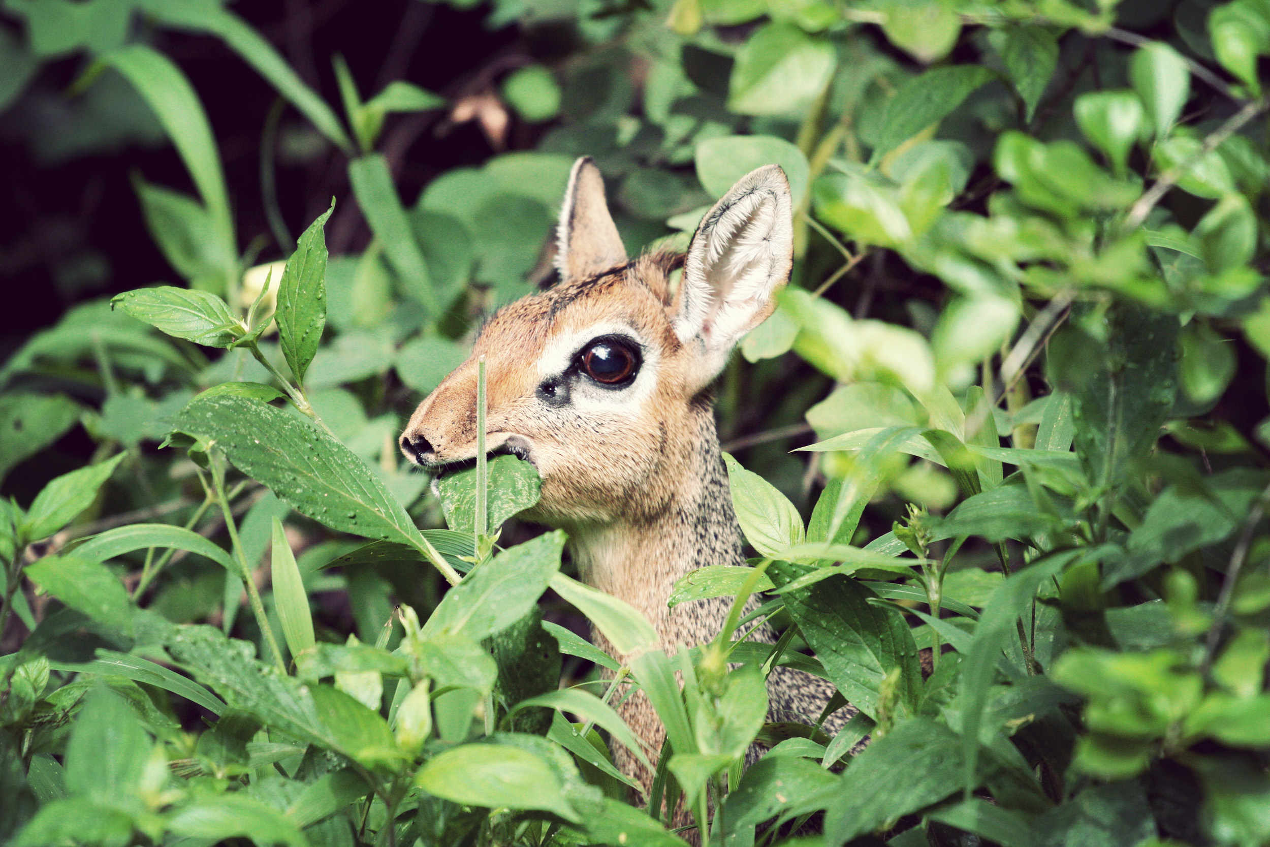 It's a dikdik. They are shy and tiny andridiculous. They have weird noses. I love them.