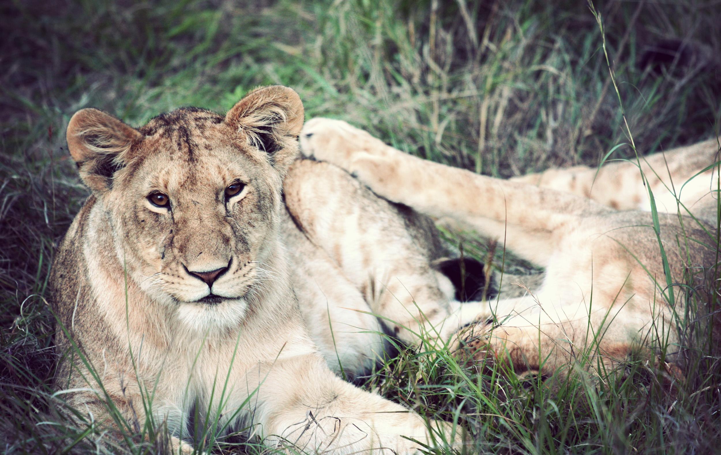 Day08_Lions_05.jpg
