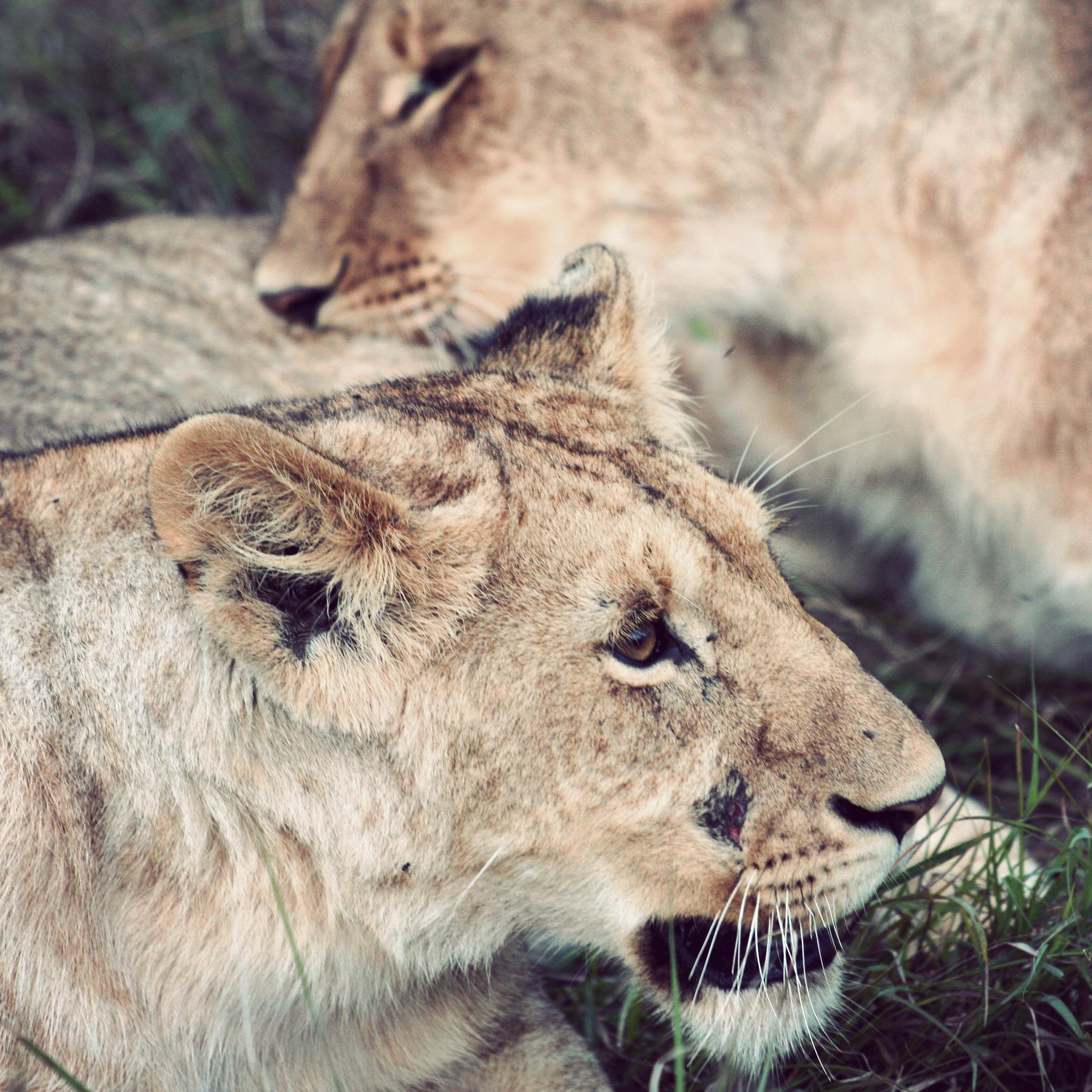Day08_Lions_01.jpg