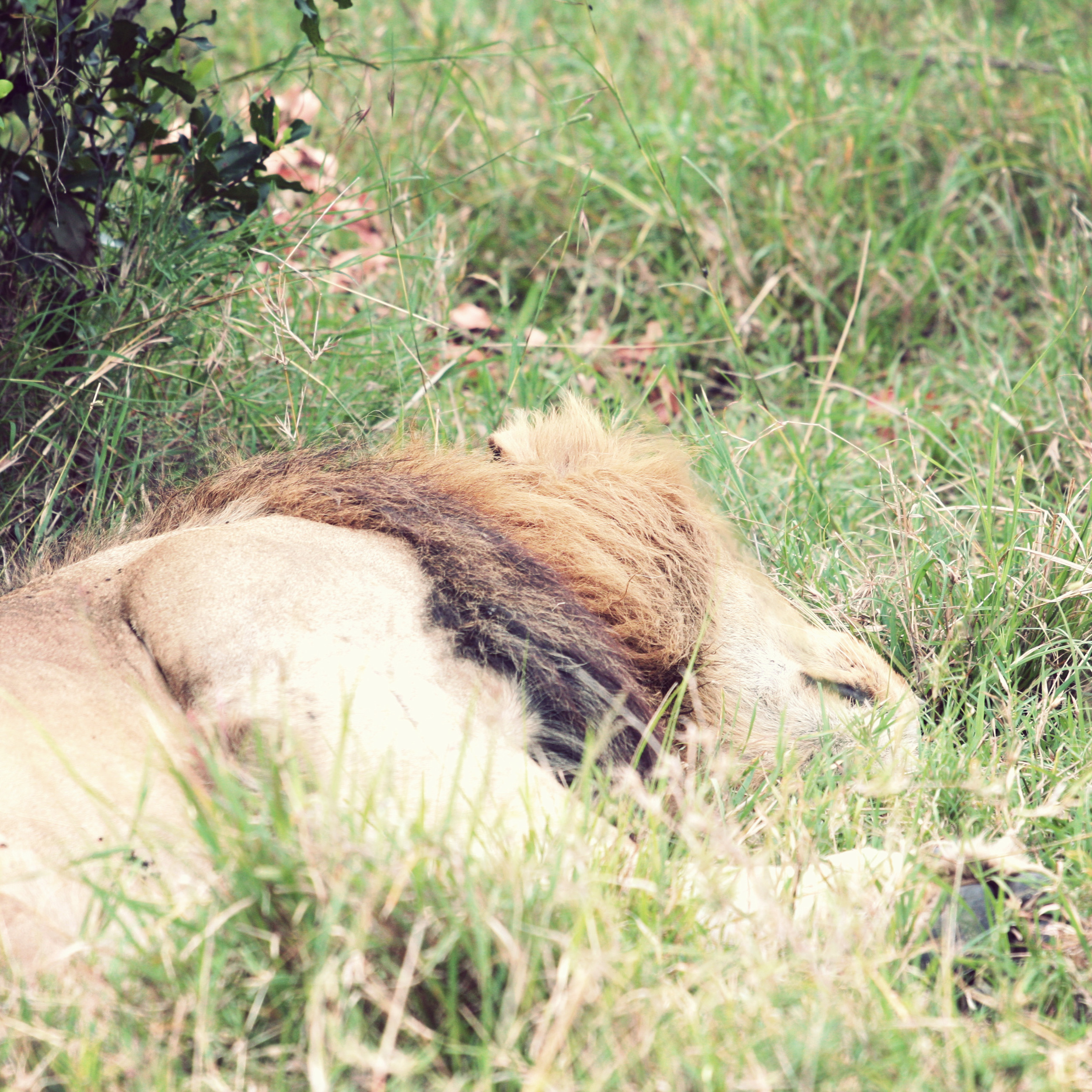 Sleeping male lion - they were all hiding in the grass and we didn't want to get closer and disturb them.