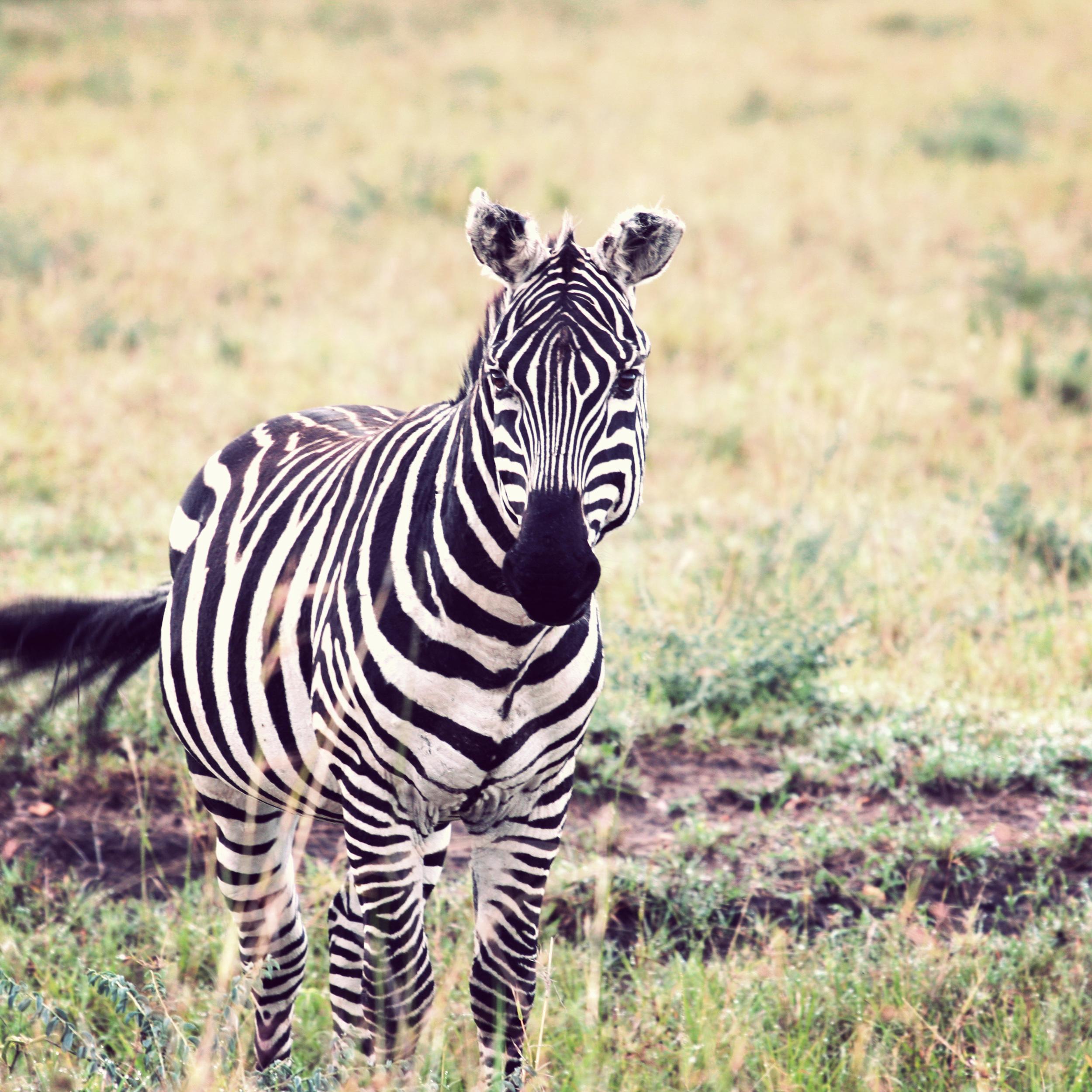 My zebra portrait