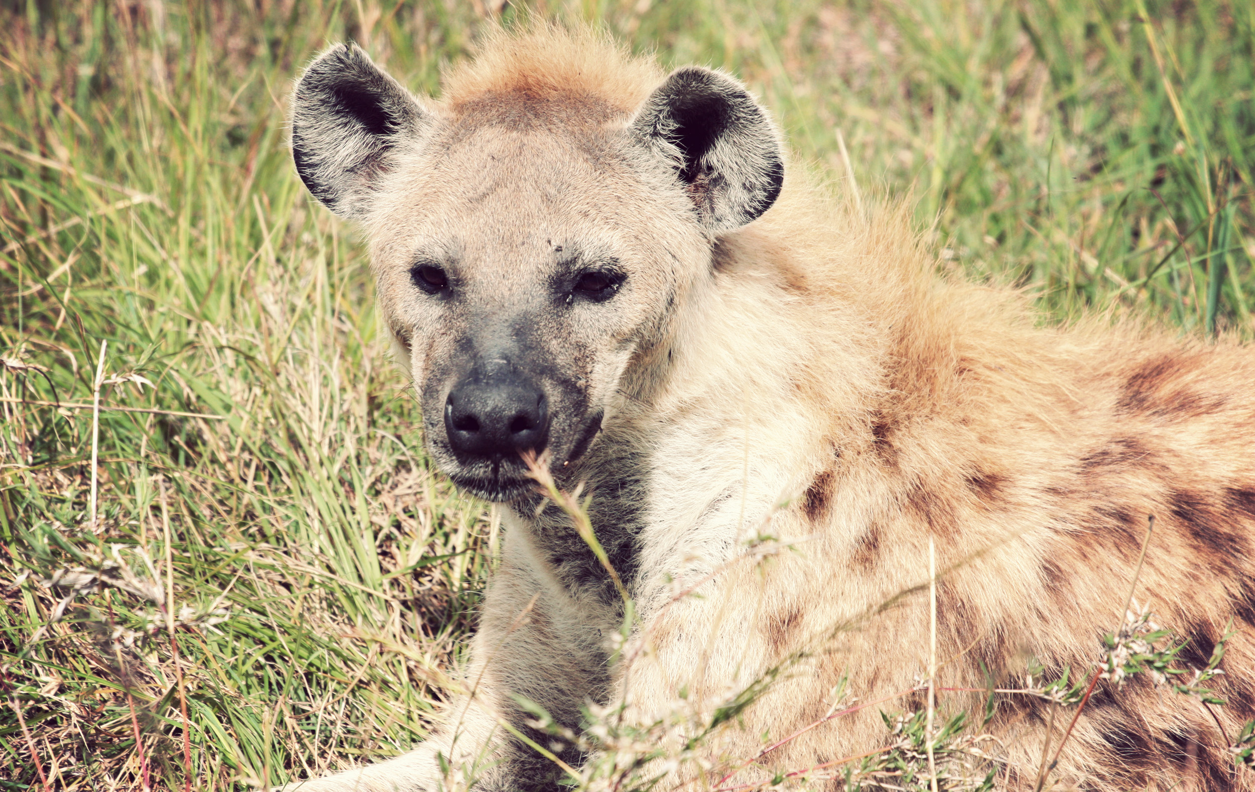 This is what a hyena actually looks like. Who knew they were kind of cute?