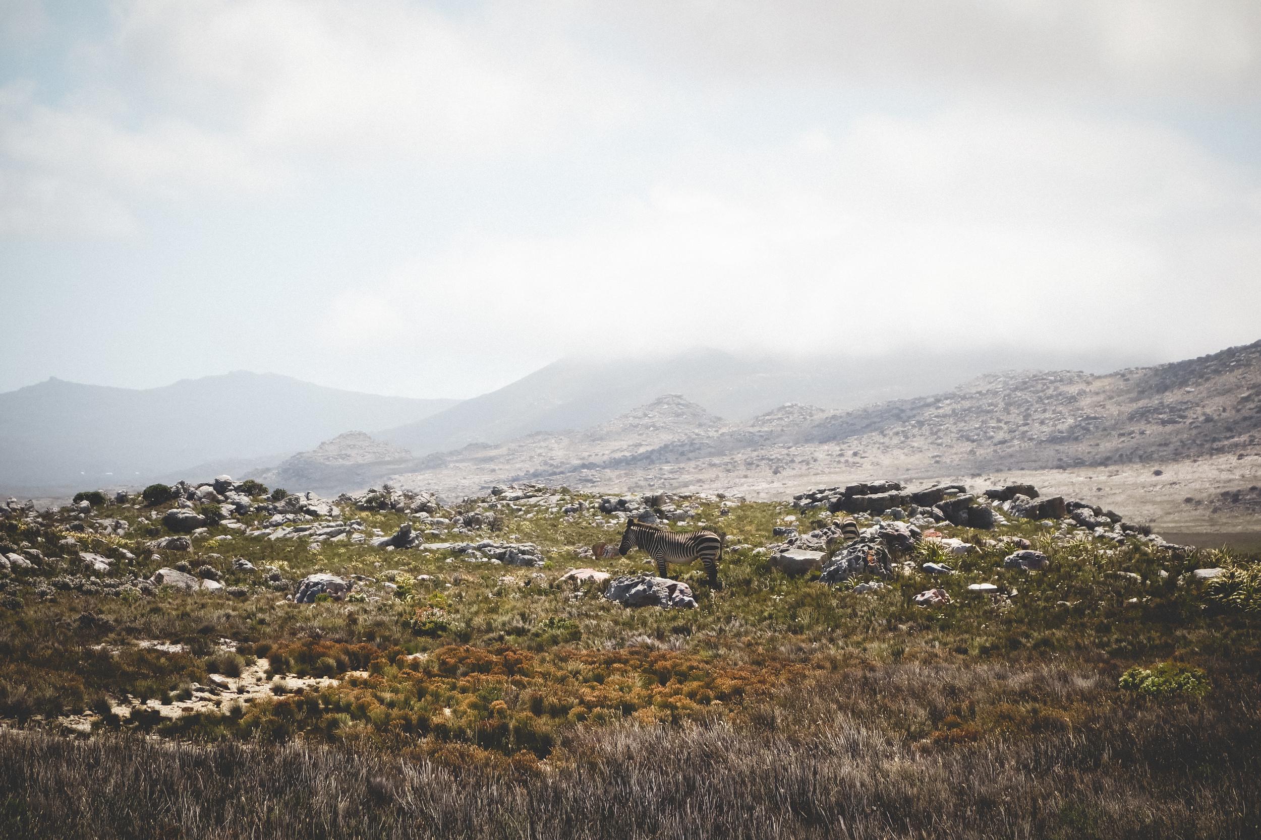 Cape Point Fynbos-4.jpg