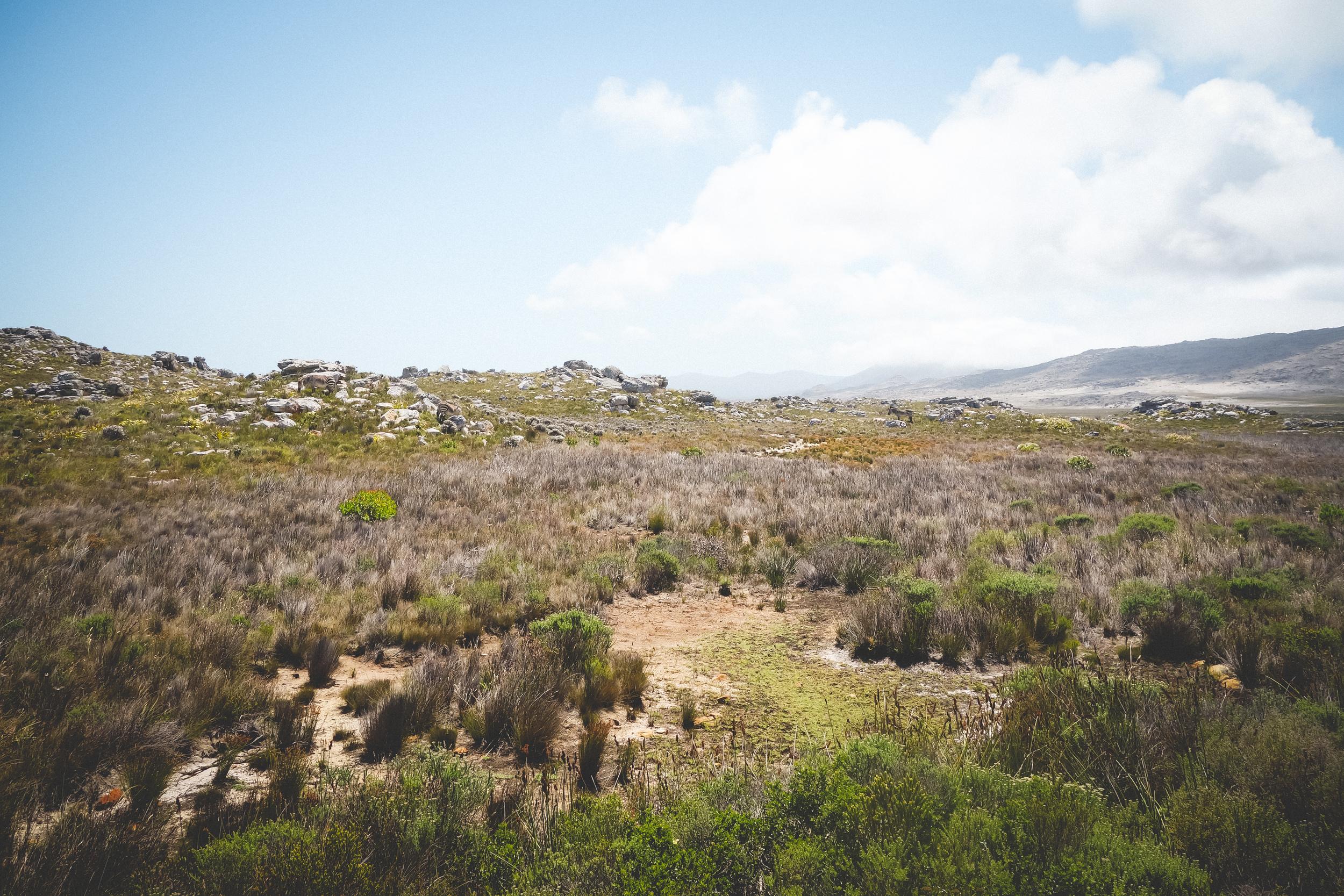 Cape Point Fynbos-6.jpg