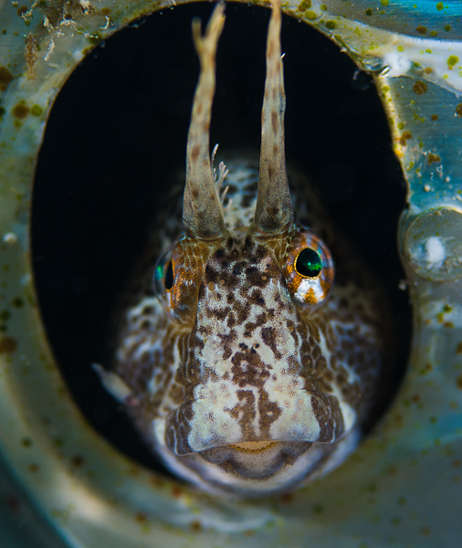 Blenny in a beer tin can  Σαλιάρα σε κουτάκι μπύρας