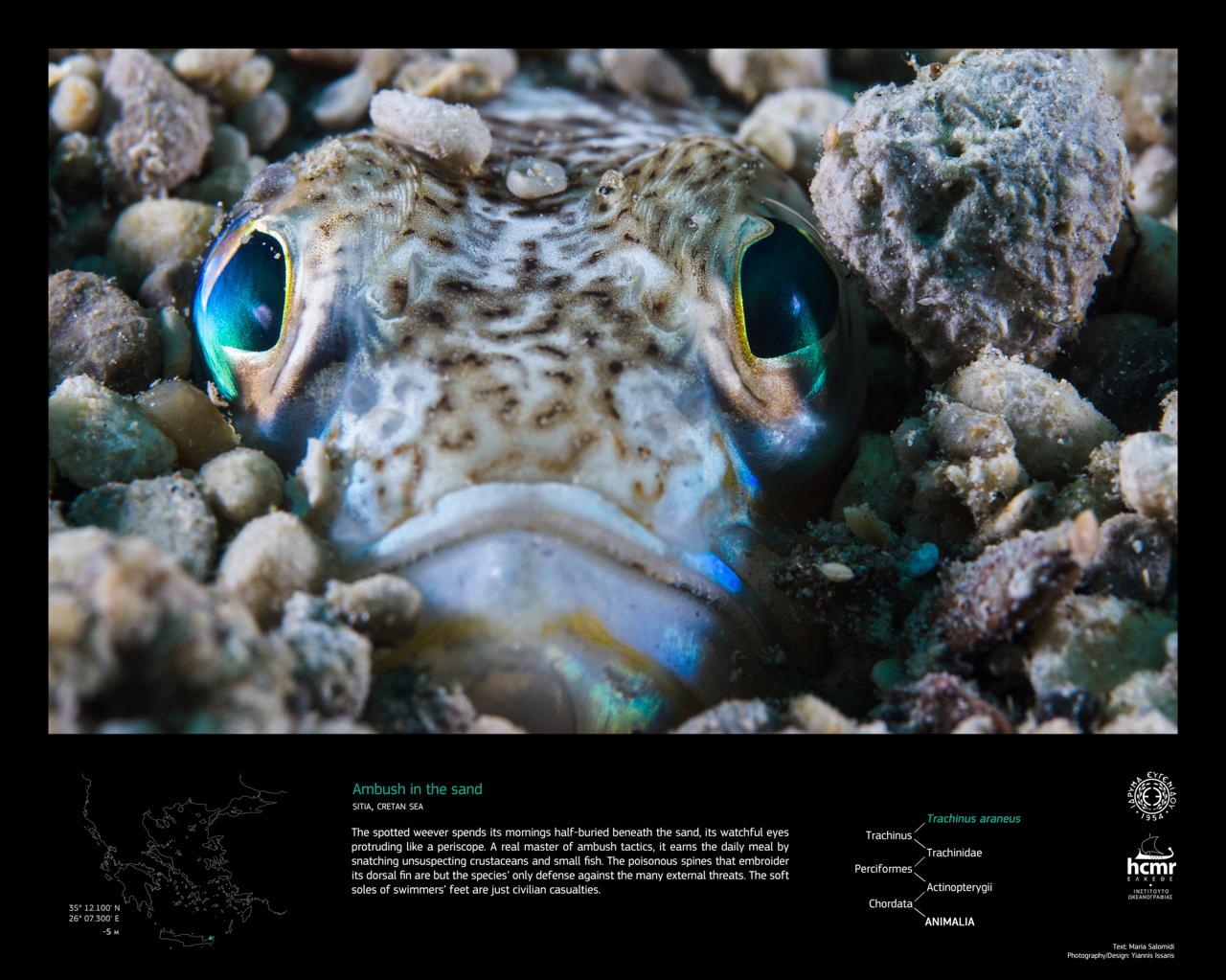 trachinus_siteia_EN.jpg