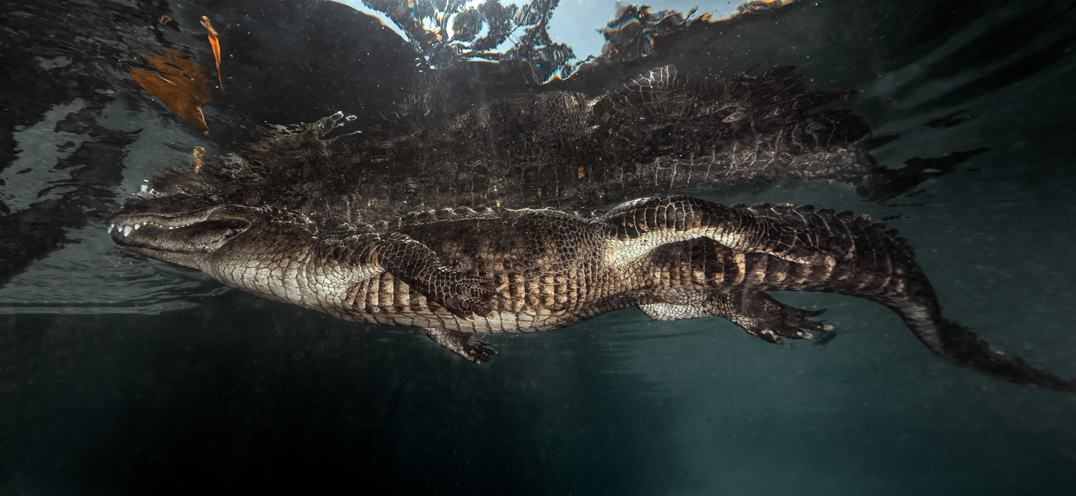 Underwater Alligator Photography