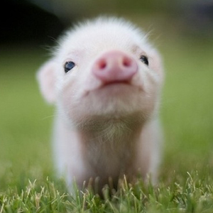 cute_pig_about_us_image.jpg