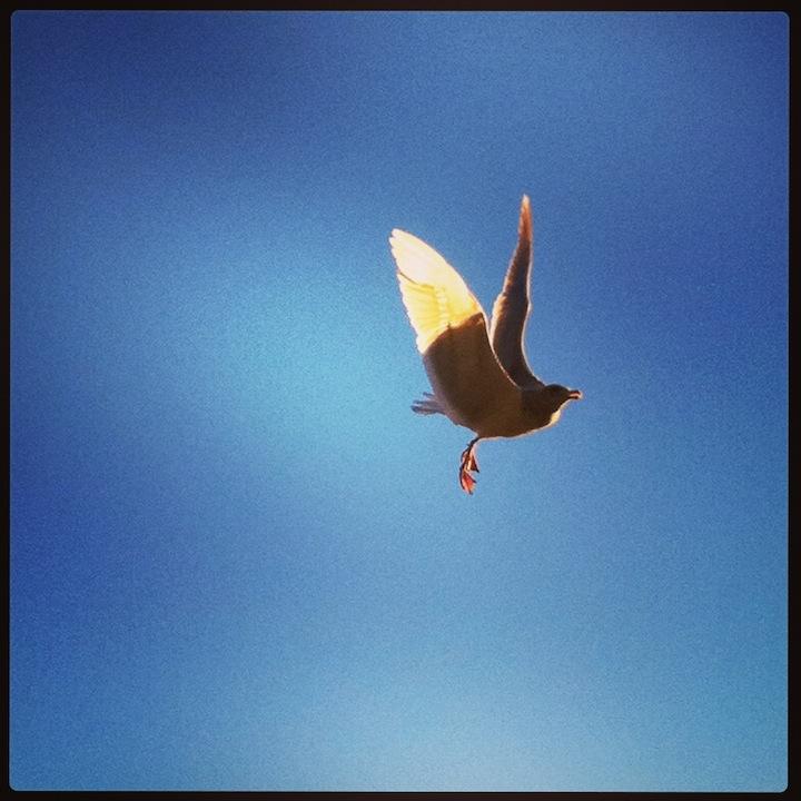 seagull-flying.jpg
