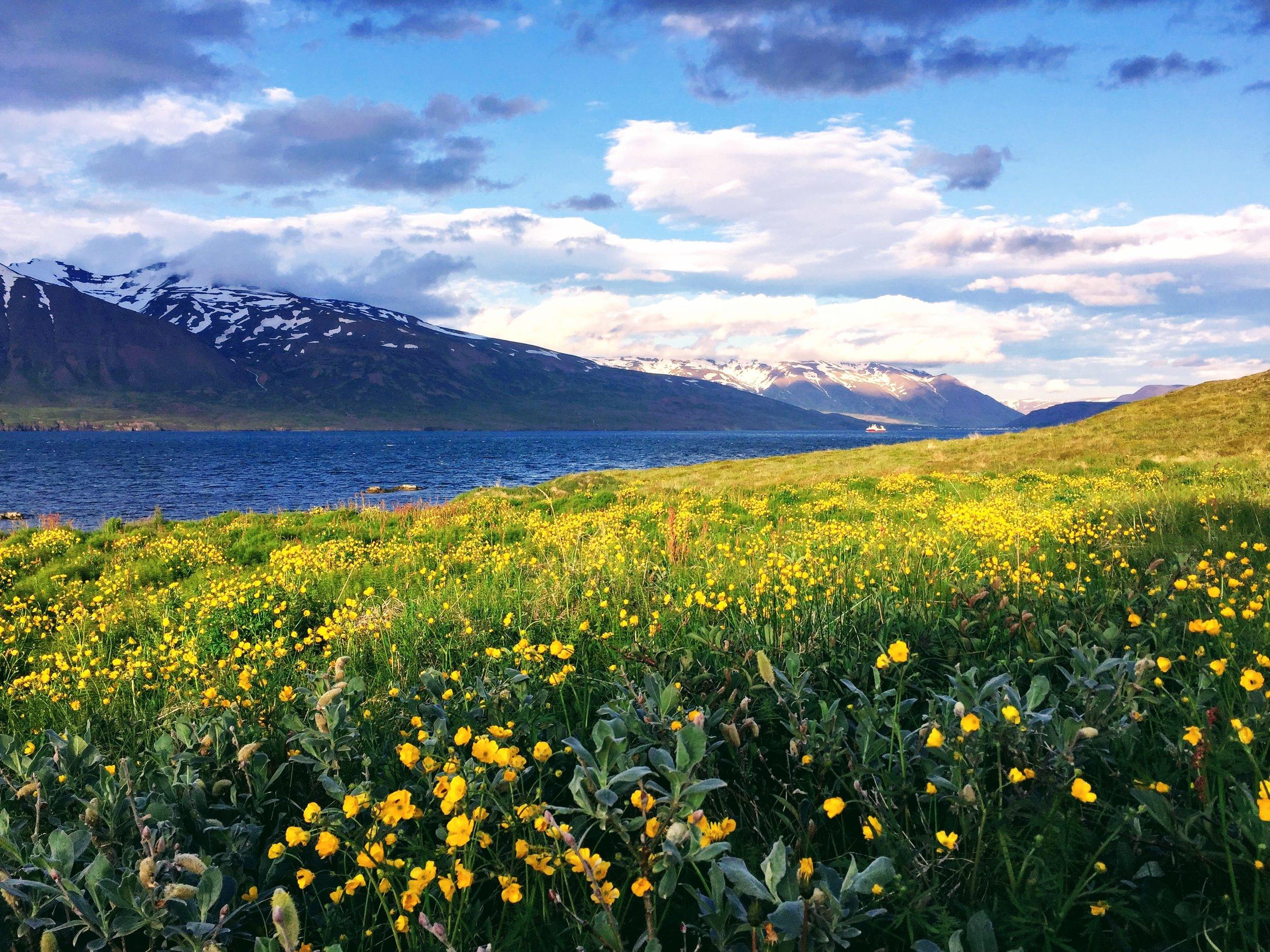 buttercups-hrisey-iceland