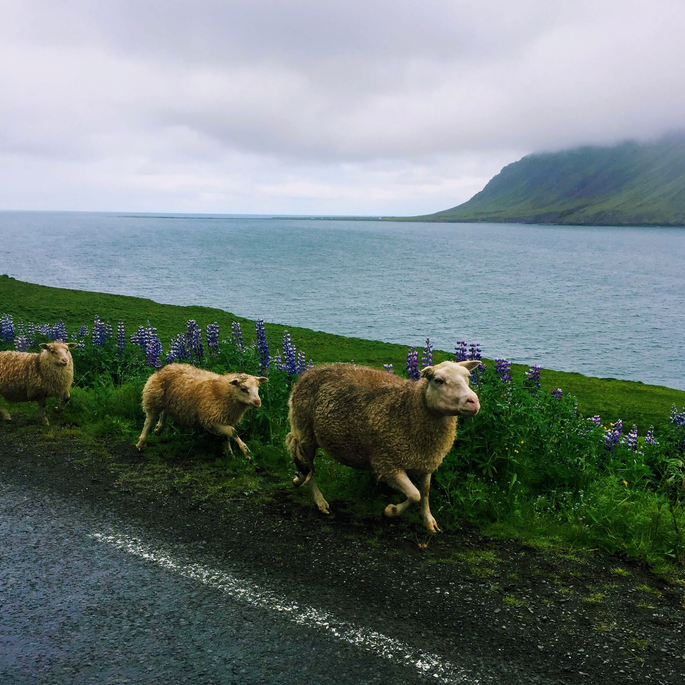 Iceland sheep-raodside.jpg