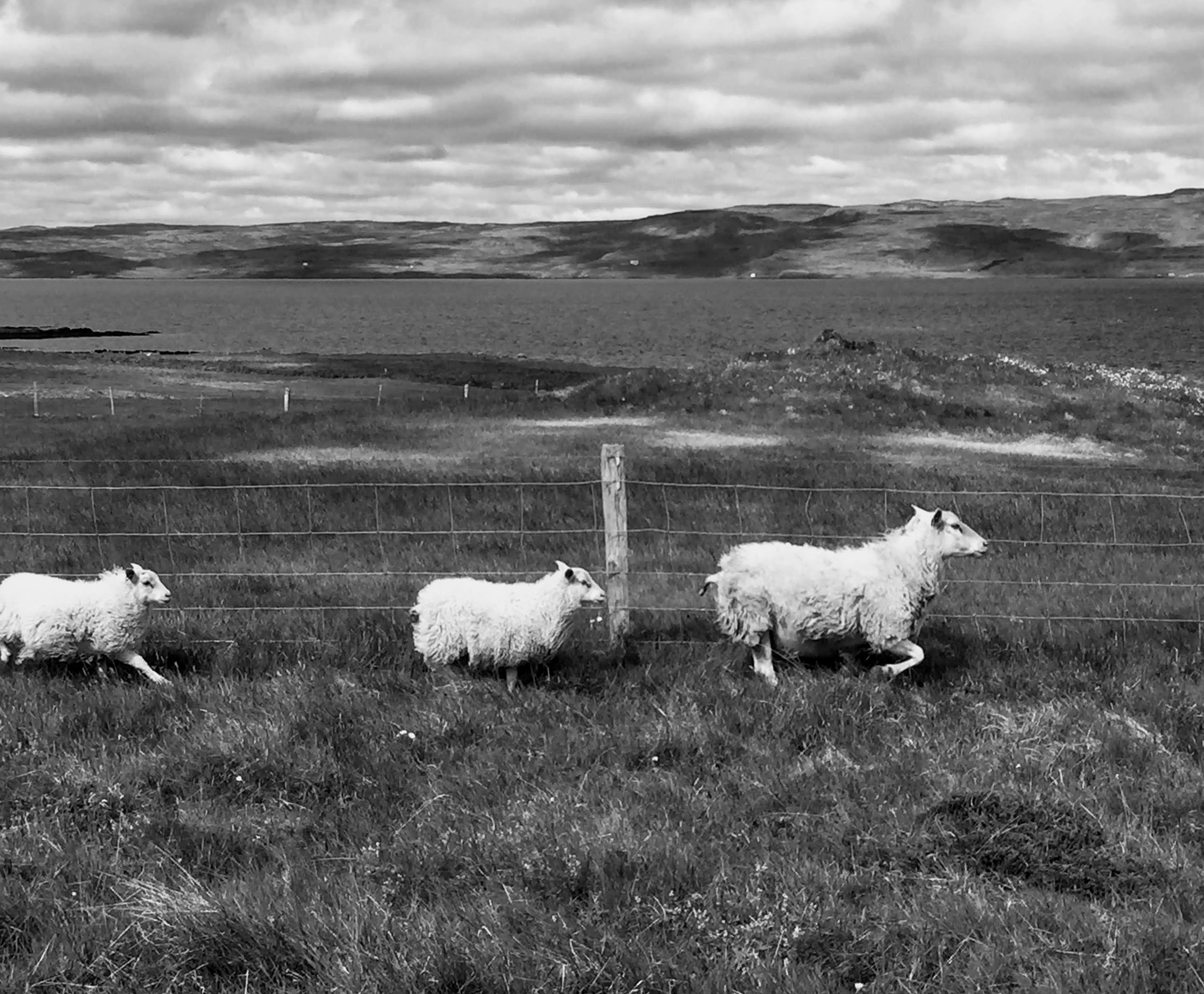 sheep-black and white.JPG