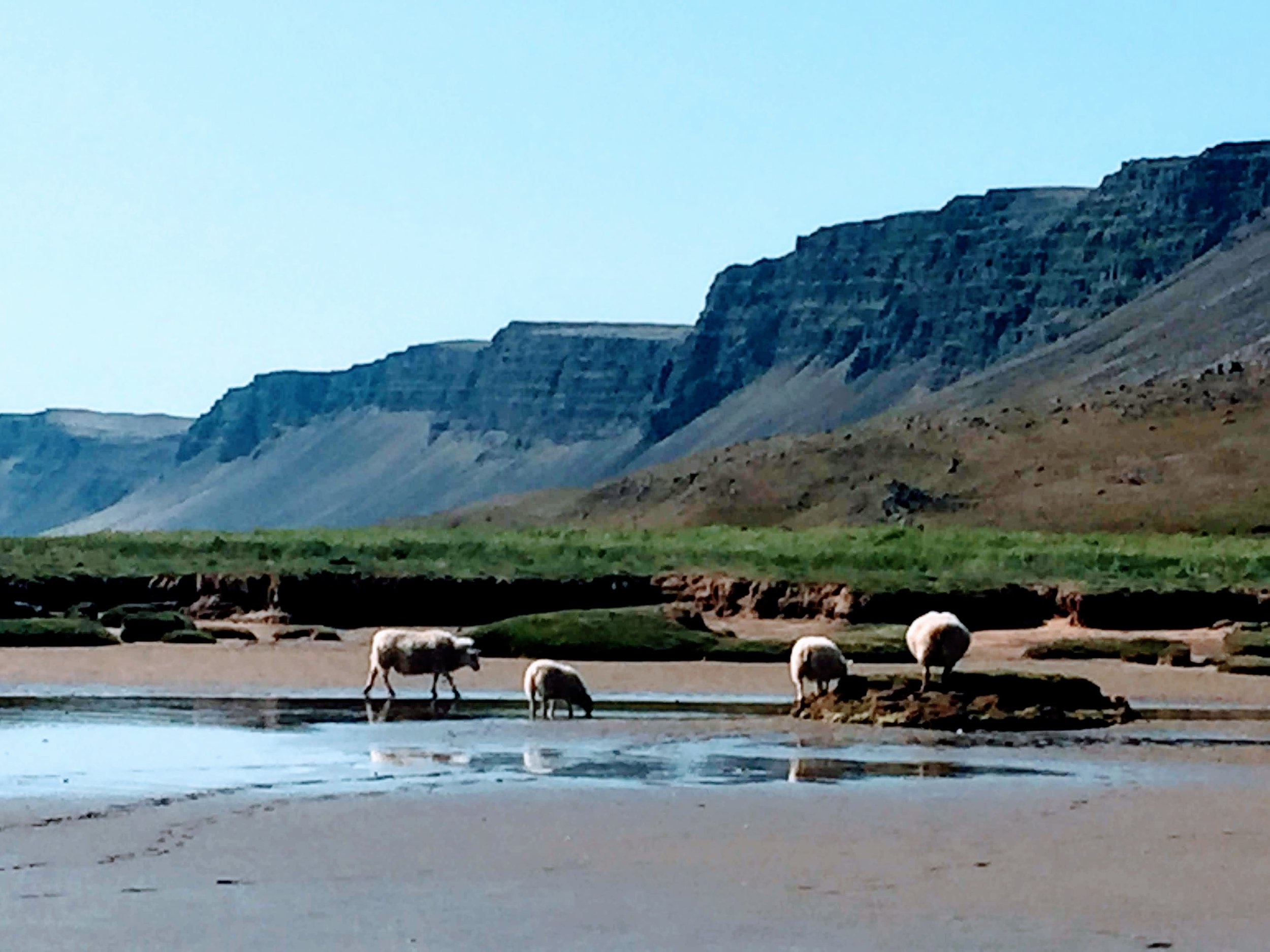 sheep on beach.JPG